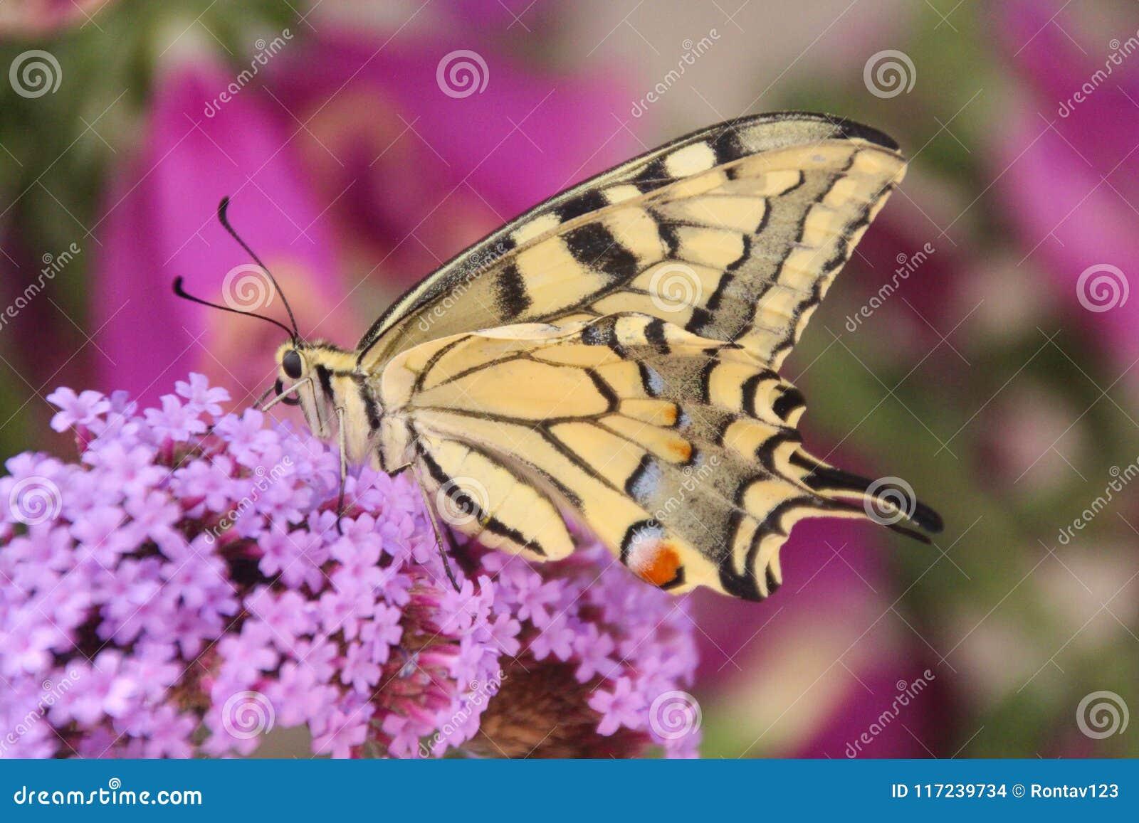 Perfile a opinião do lado de baixo uma borboleta amarela comum bonita do swallowtail