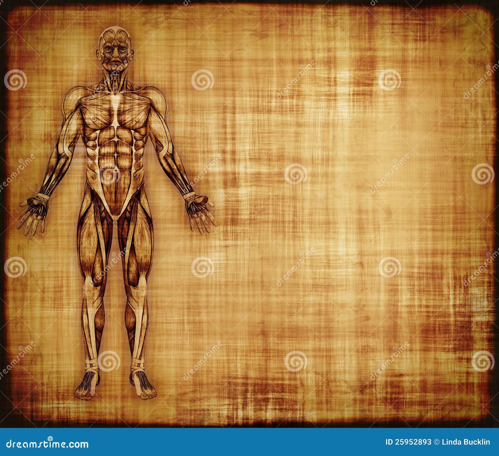Pergamino Con Anatomía Del Músculo Stock de ilustración ...