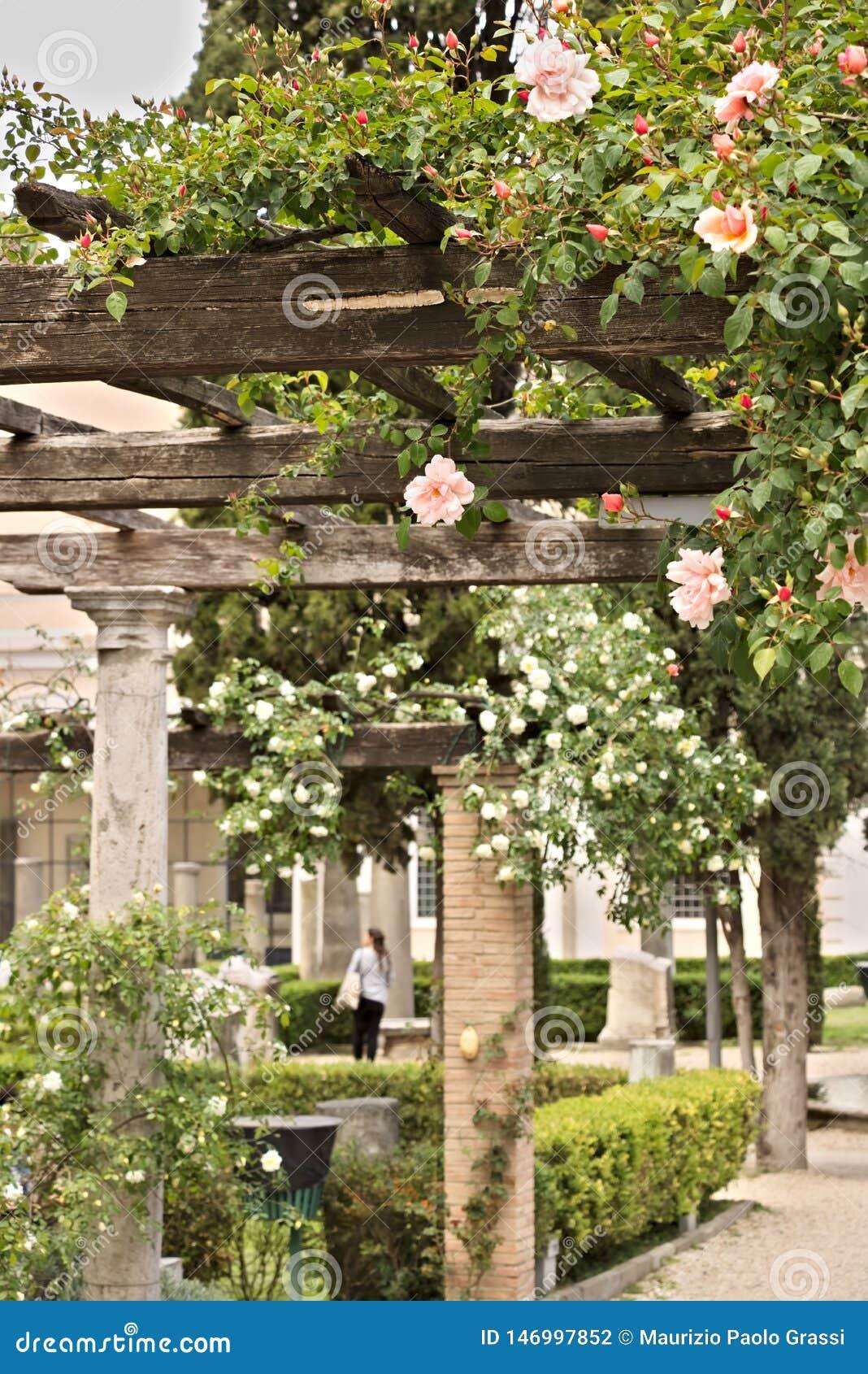 Pergola av vita och rosa rosor på trästråle