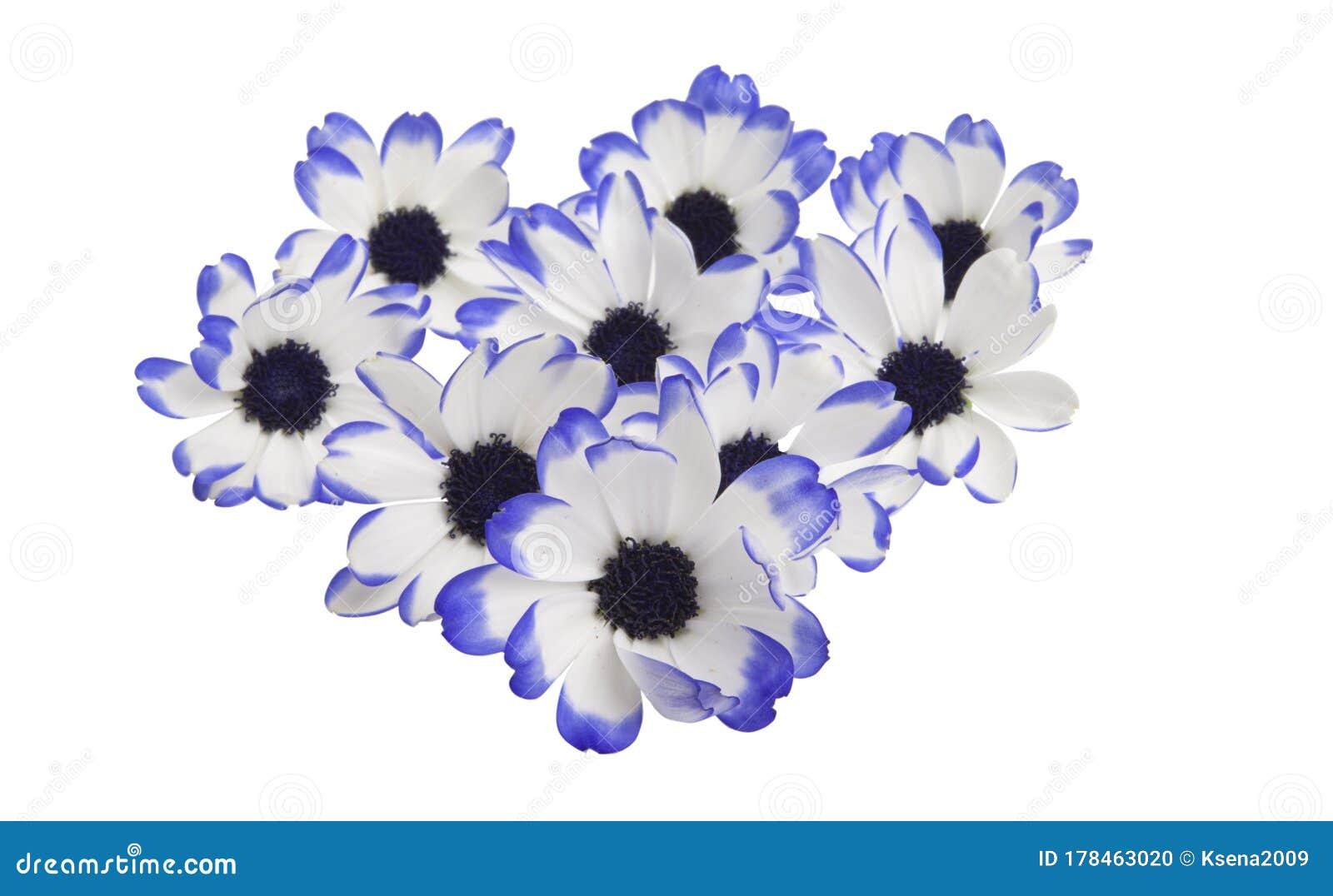 Pericallis Unusual Flower Isolated Stock Photo Image Of Plant Blue 178463020