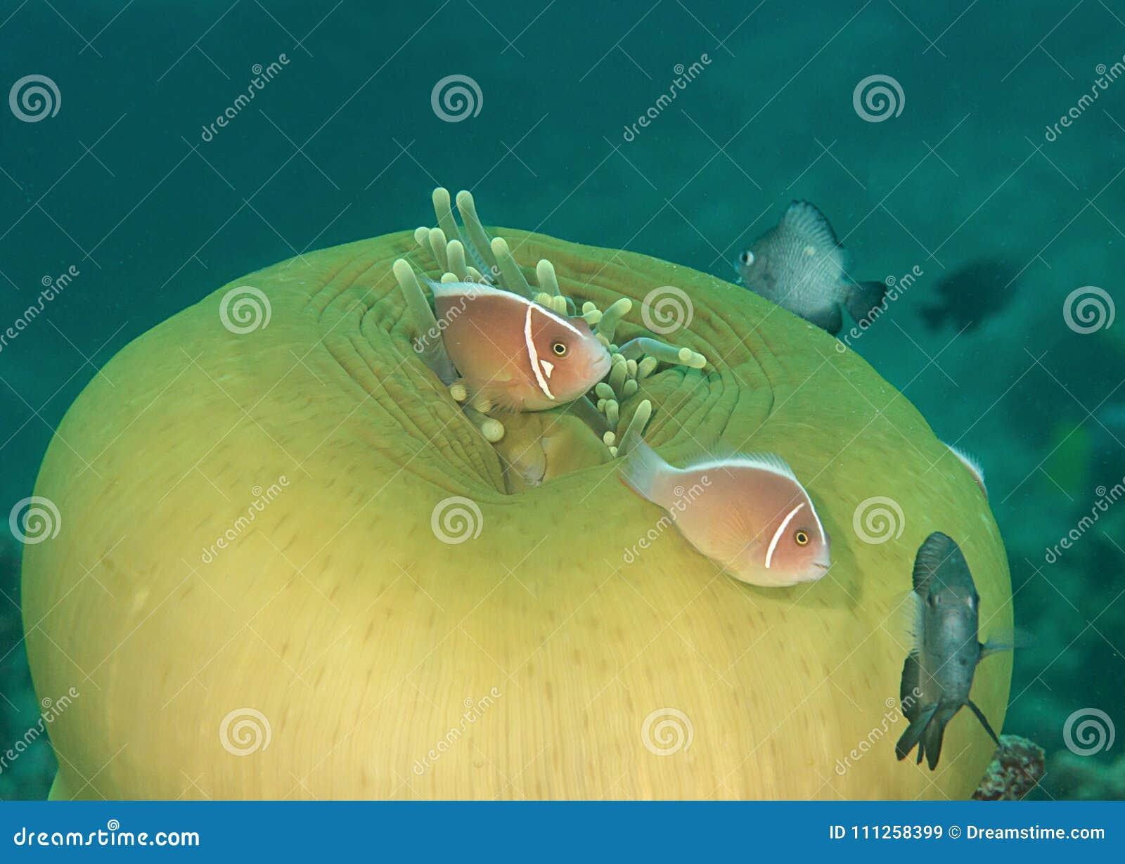 Perideraion d Amphiprion de clownfish de mouffette et danse roses de damselfish dans des tentacules d actinie, Bali