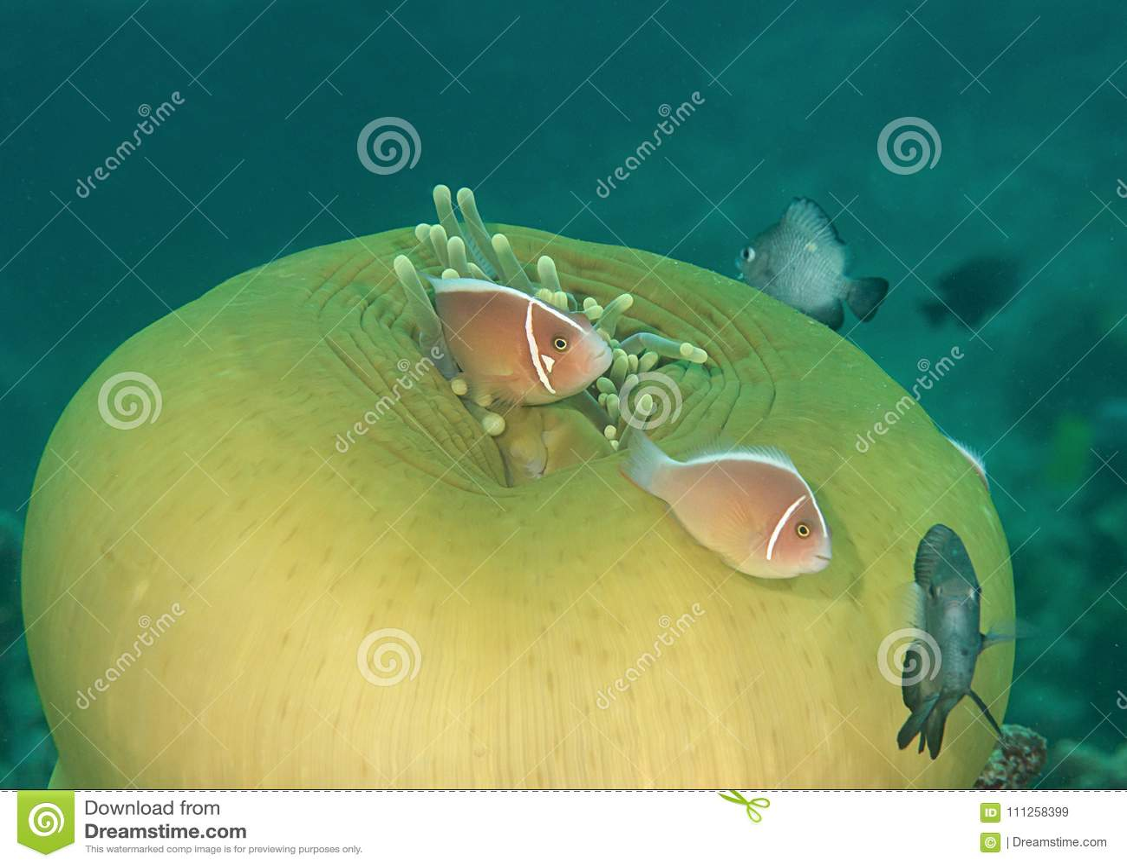 Perideraion do Amphiprion dos clownfish da jaritataca e dança cor-de-rosa em tentáculos da anêmona de mar, Bali do damselfish