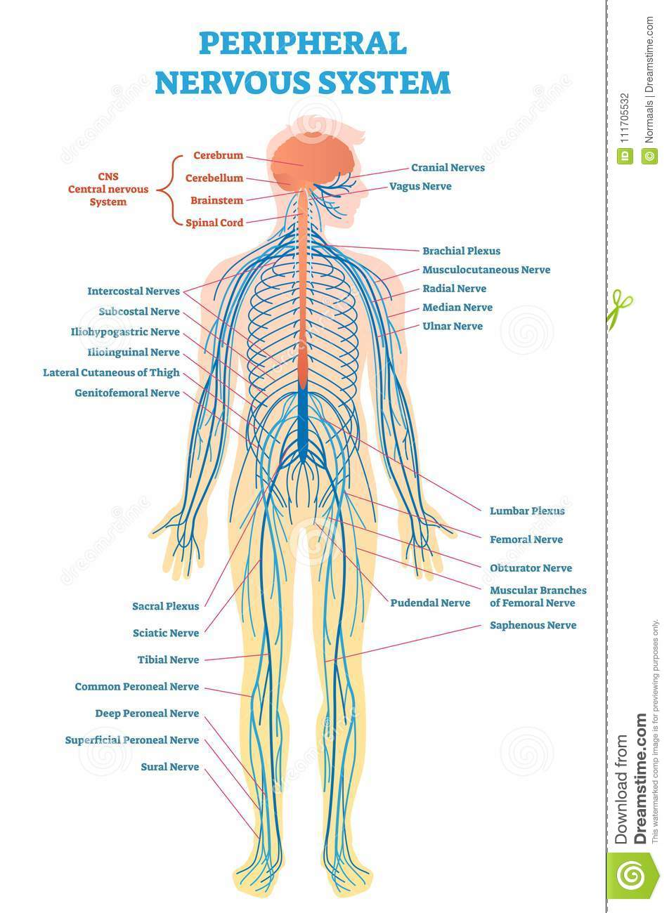 Peripheral Nervous System Medical Vector Illustration Diagram With