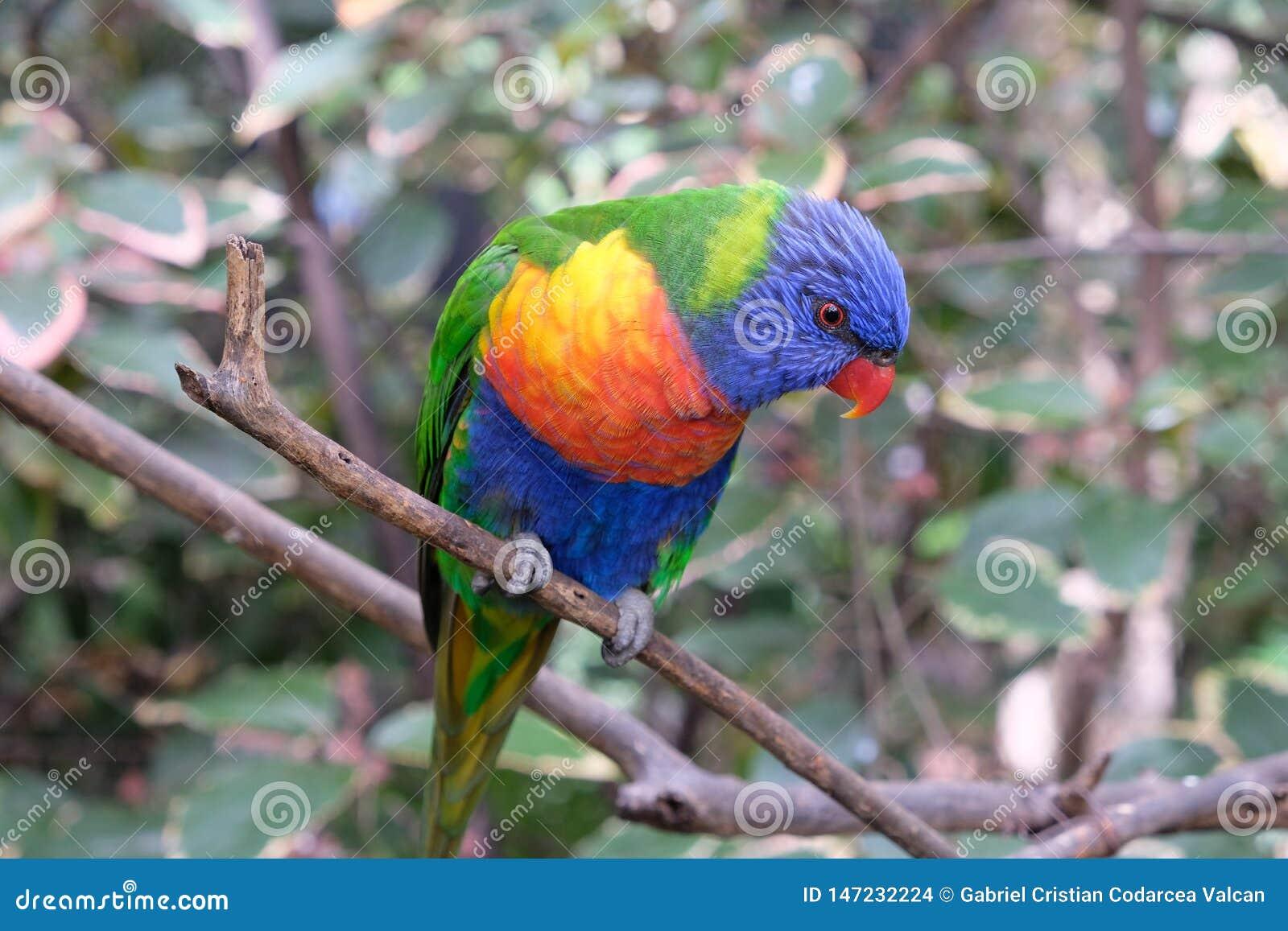 Periquito solo del arco iris en una rama de árbol en cautiverio