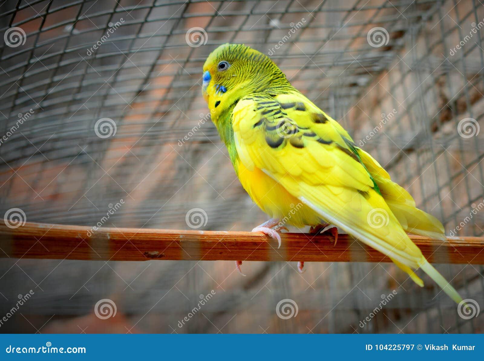 Periquito un pájaro amarillo hermoso
