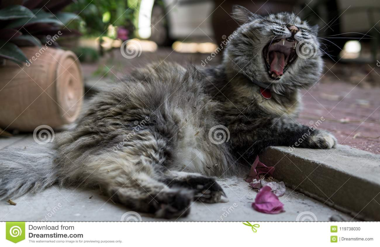 Perisan-tricolor cat yawning