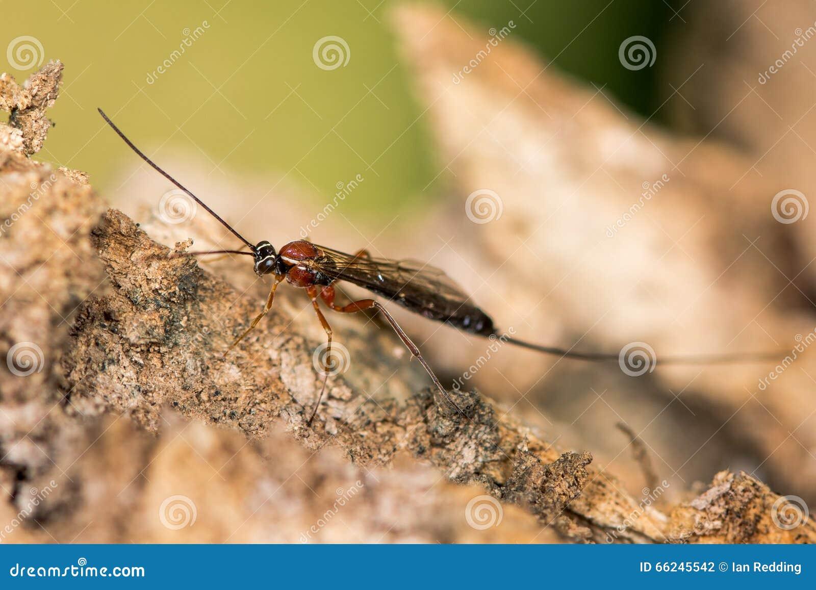 perithous与长的产卵器的猫鼬黄蜂图片