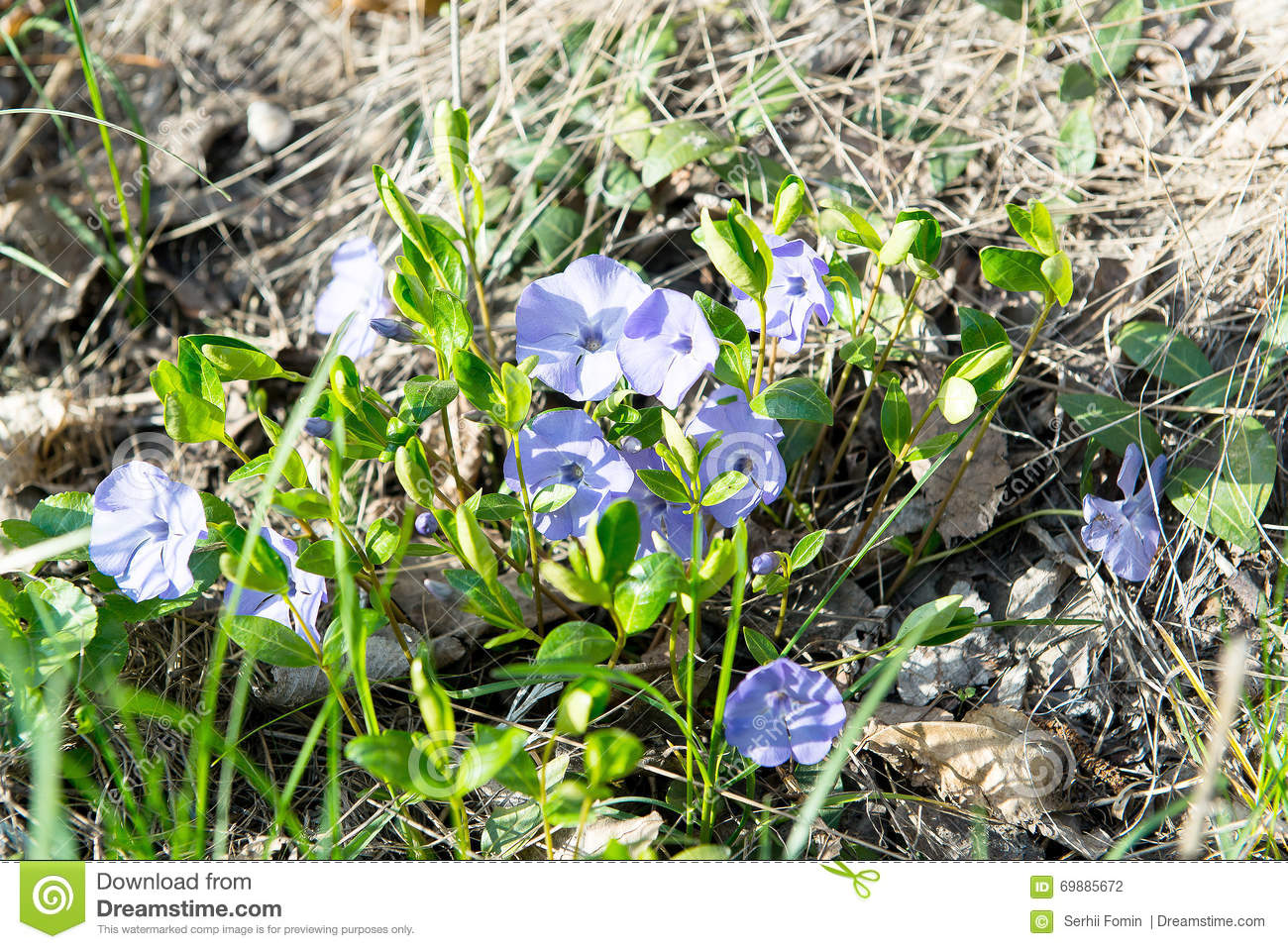 Periwinkle and daisy flowers decoration on white flowering vinca in closeup purple flowers scientific name viola odorata sweet violet english violet common violet or garden violet blooming in spring in wild meadow mightylinksfo