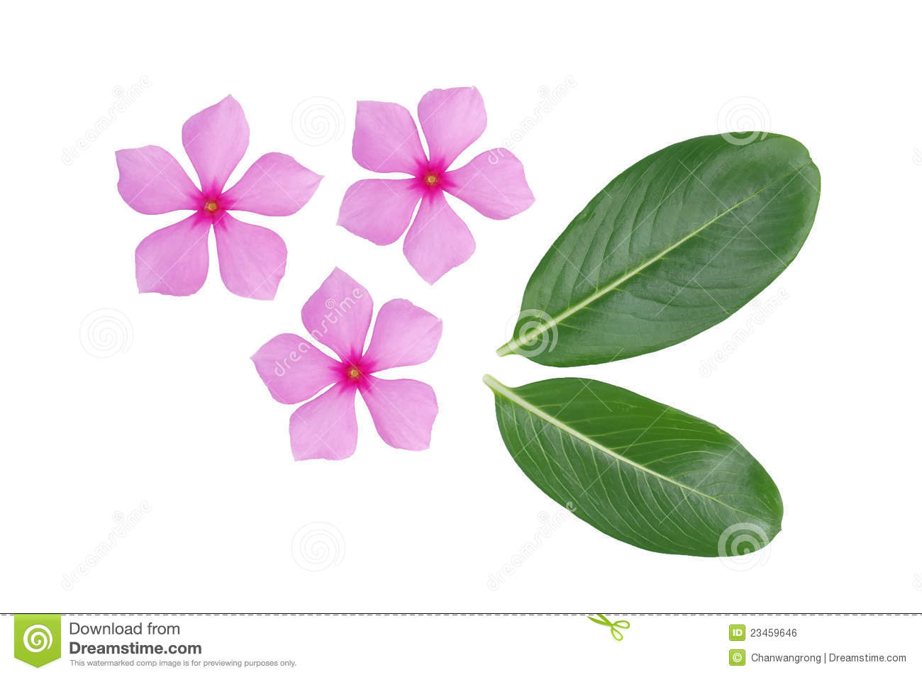 Periwinkle Flower And Green Leaf Stock Photo Image Of Flower Herb