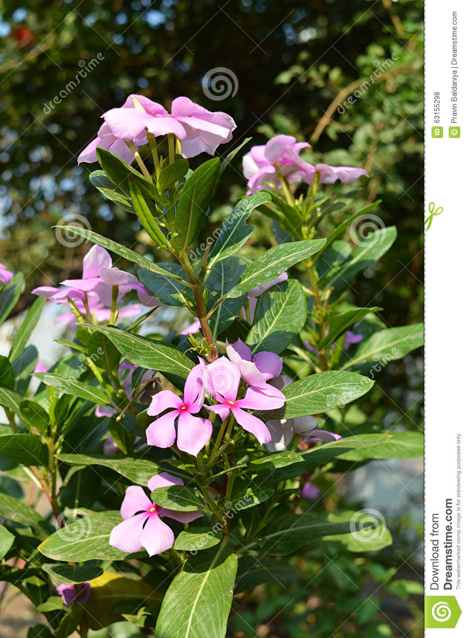 Periwinkle Flowers Beautiful Real Click Of Nature Stock Photo ...