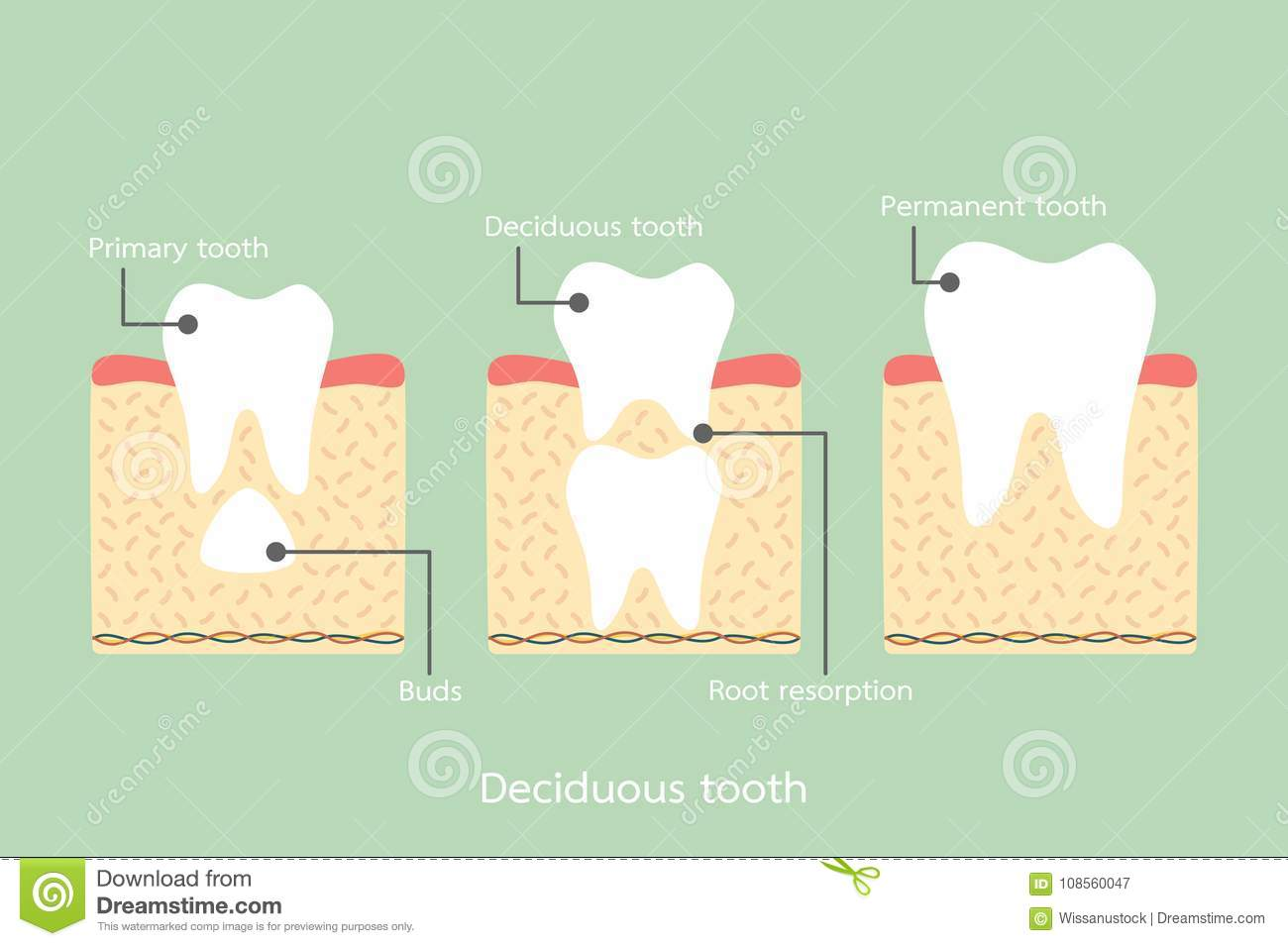 Permanent Tooth Located Below Primary Tooth, Anatomy Structure ...