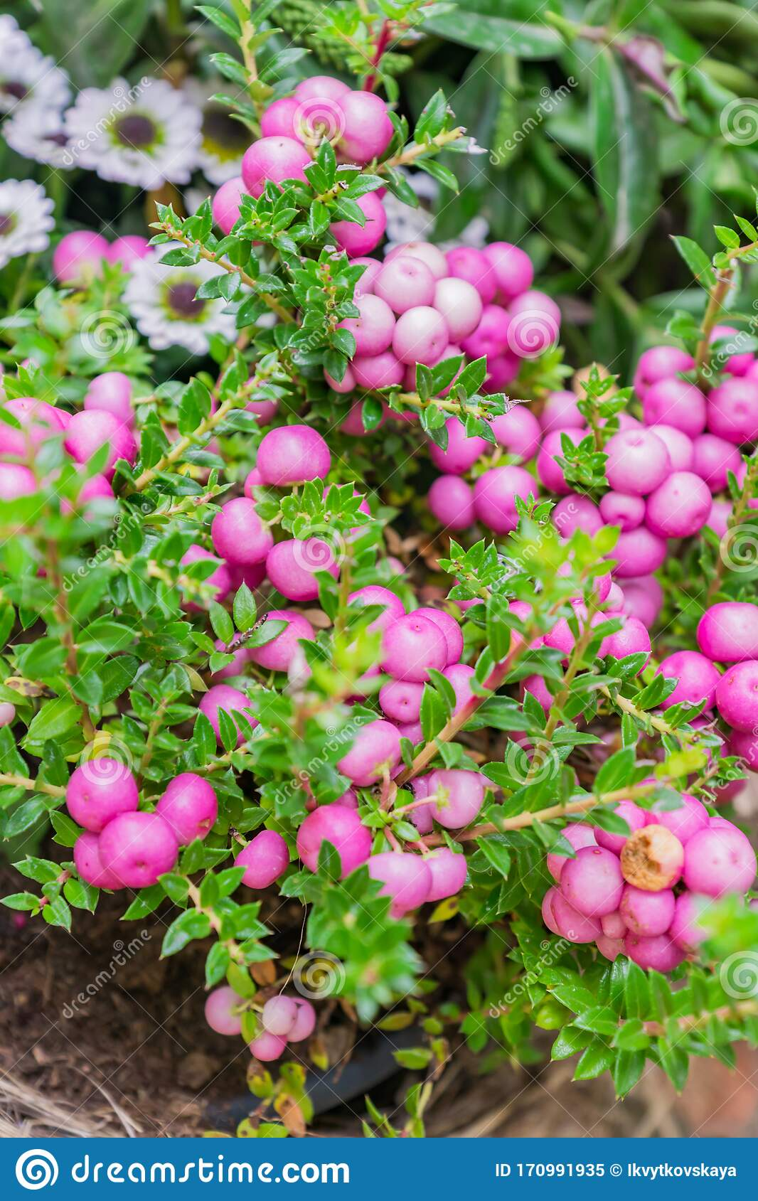 Pernettya Pink.Pernettya Mucronata Evergreen Shrub With Pink Berries Autumn Plant In Clay Flower Pot Stock Image Image Of Autumn Botany 170991935