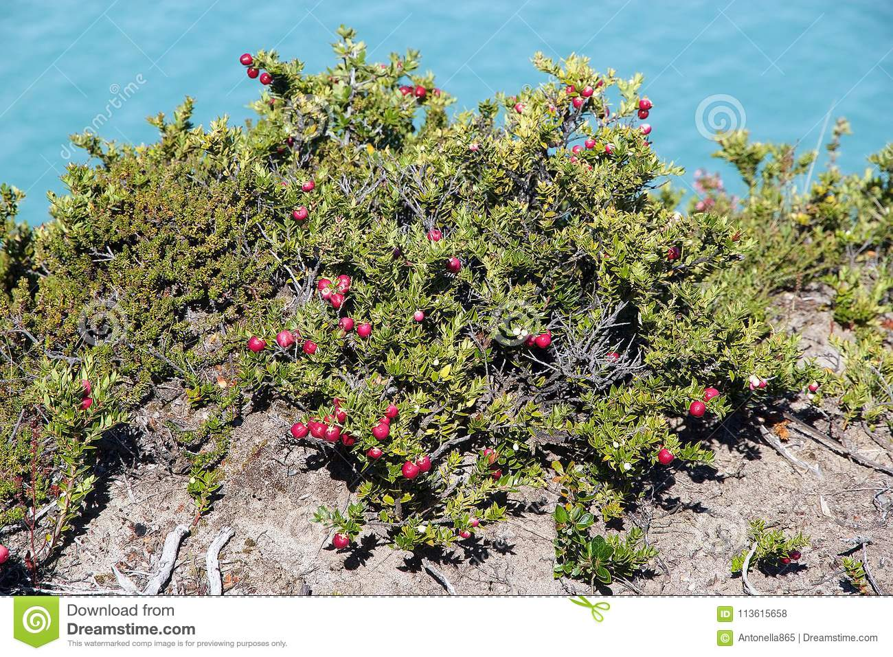 Pernettya.134 Pernettya Photos Free Royalty Free Stock Photos From Dreamstime