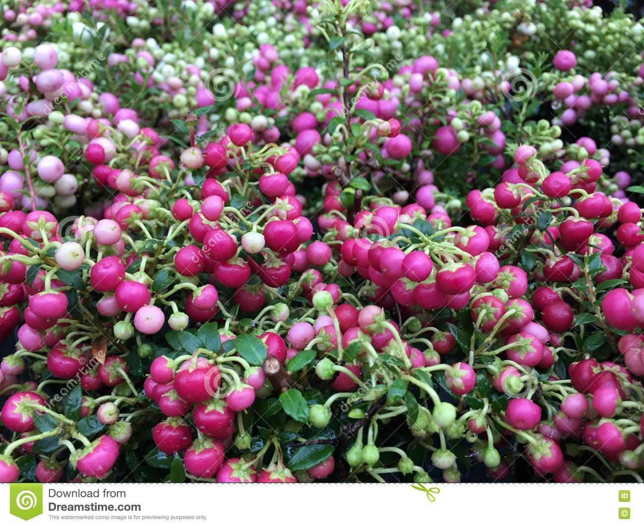 Pernettya Pink.Pernettya Mucronata With Reddish Pink Berries And Green Leaves Stock Image Image Of Winter Berries 76672277