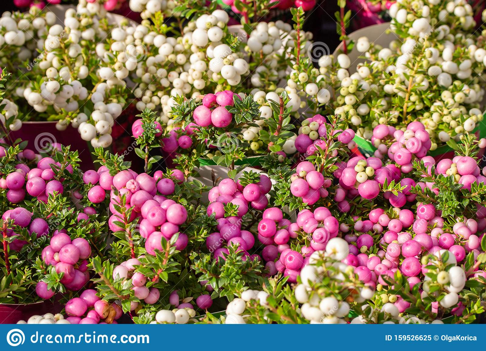 Pernettya Pink.Pernettya Spiky Autumn Fruits Ripe White Pink Gaultheria Mucronata Berries Horizontal Background Stock Image Image Of Heather Nature 159526625