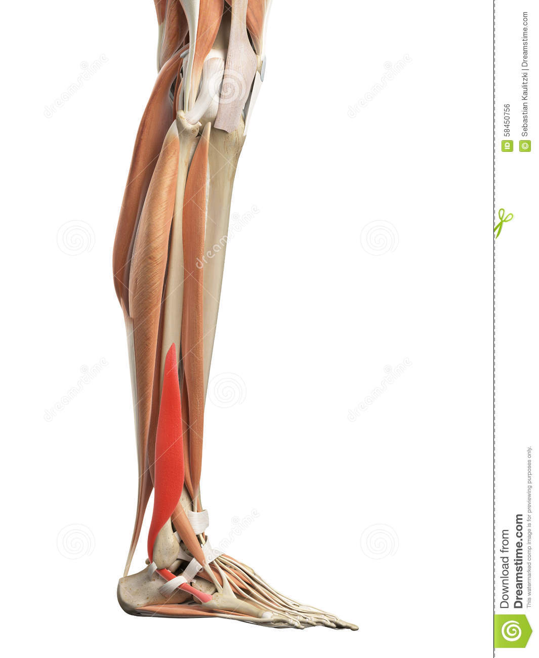 The peroneus brevis stock illustration. Illustration of anatomy ...