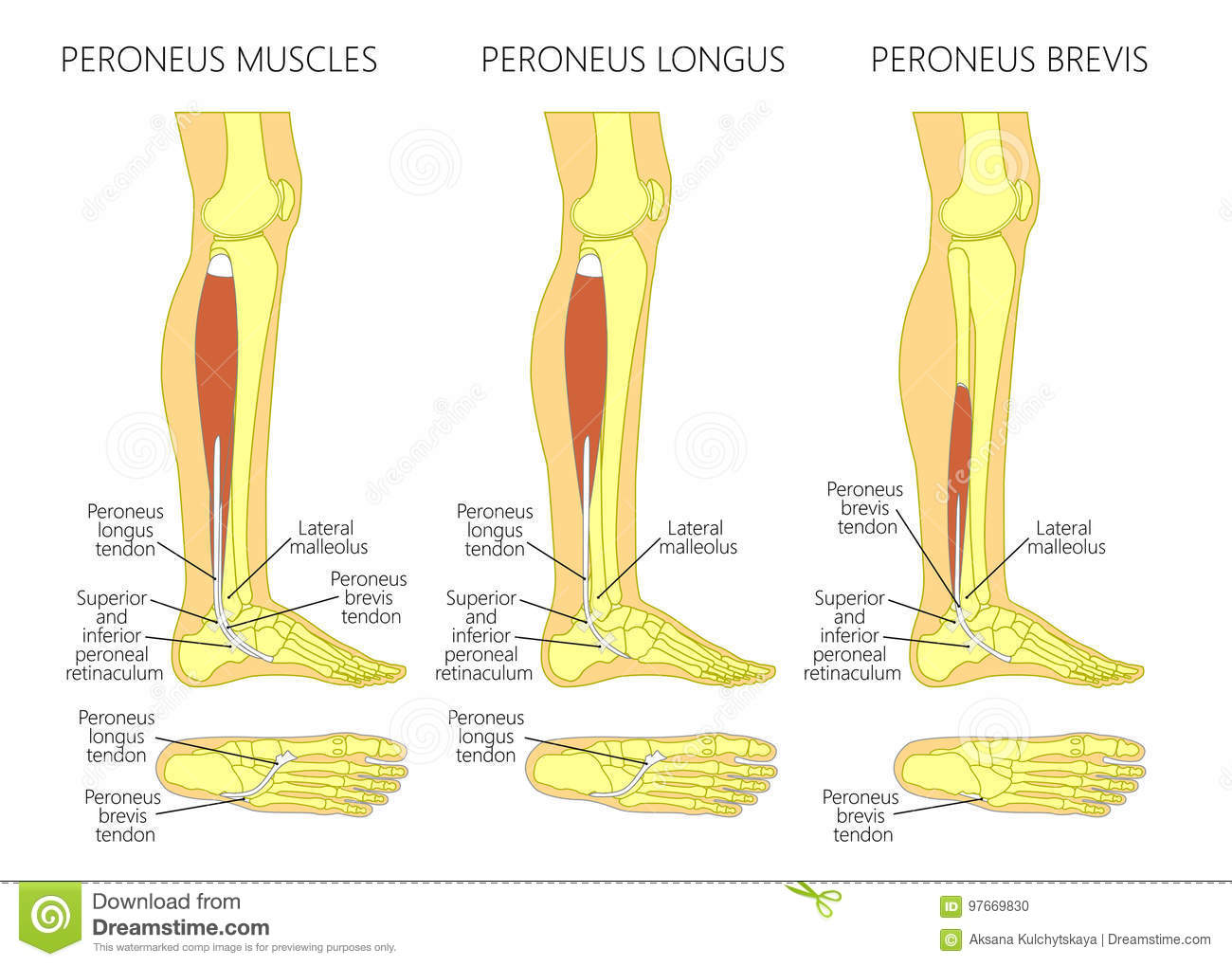 Peroneus longus muscle stock vector. Illustration of podiatry - 97669830