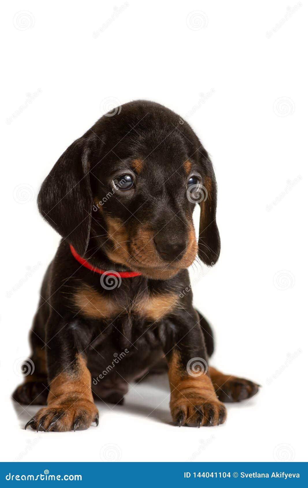 Perrito adorable del perro basset que se sienta aislado en el fondo blanco