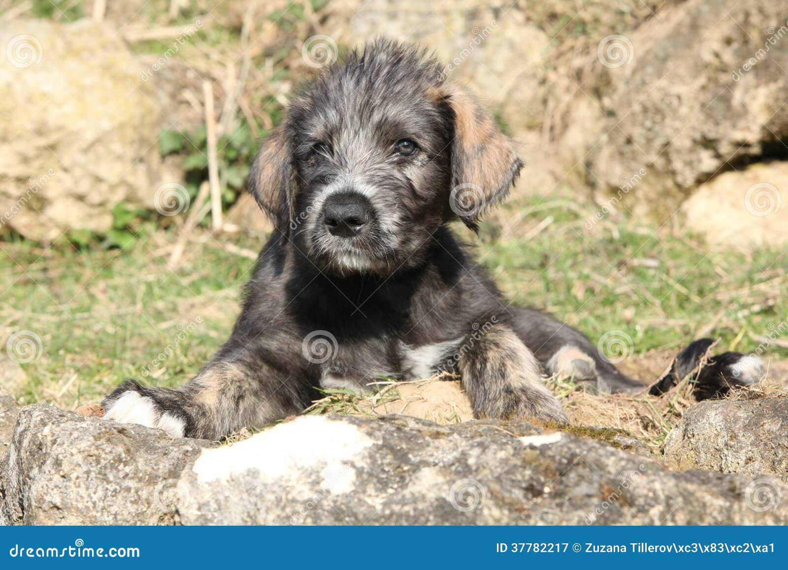Perrito agradable del perro lobo irland s en el jard n for Ahuyentar perros del jardin