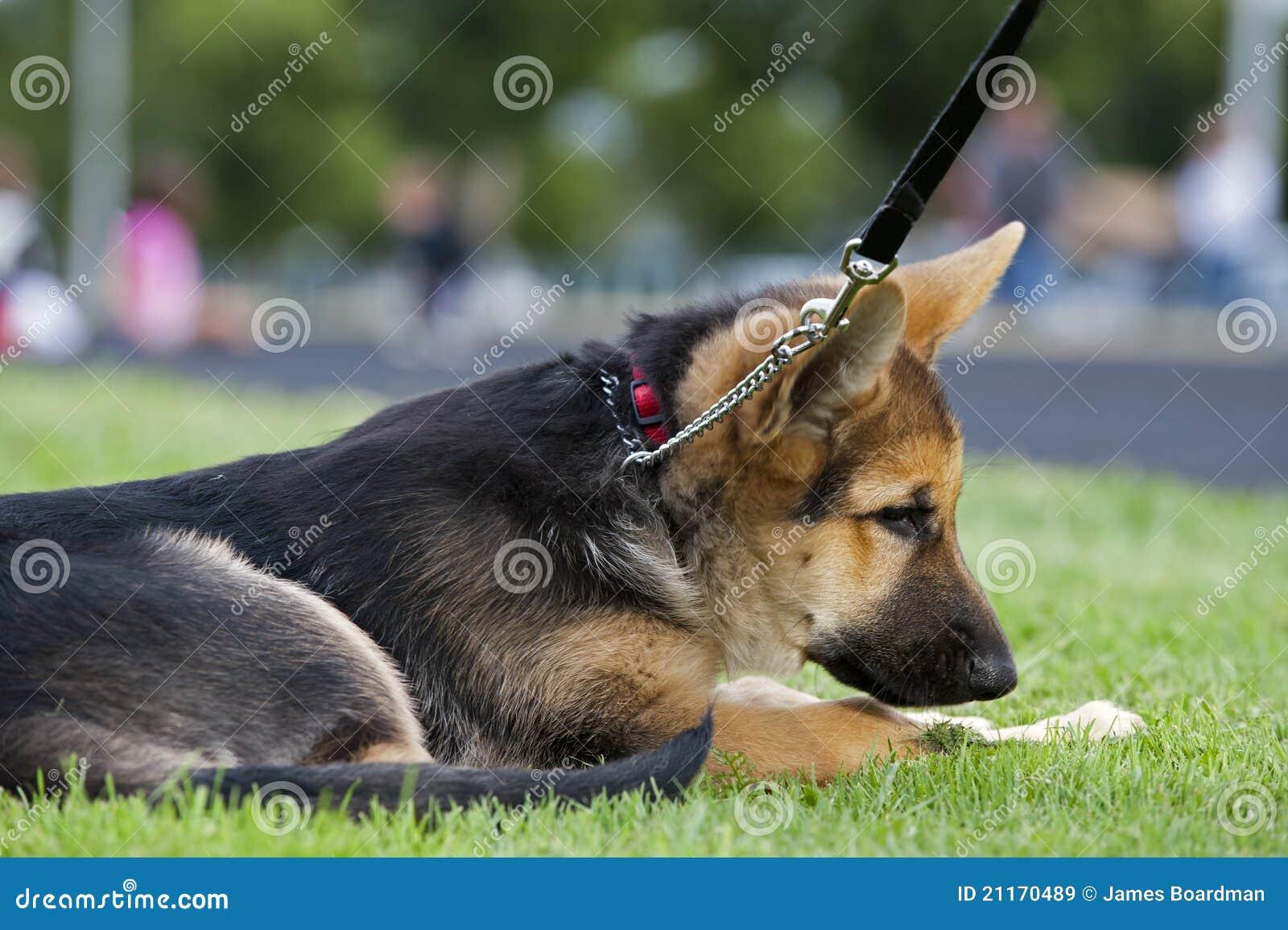 Perrito alemán del shepard