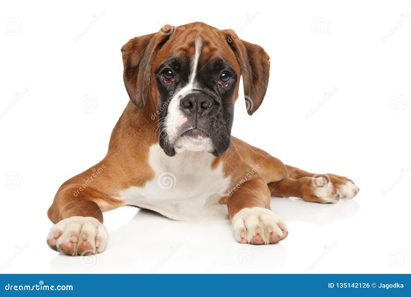 Perrito alemán hermoso del boxeador en el fondo blanco