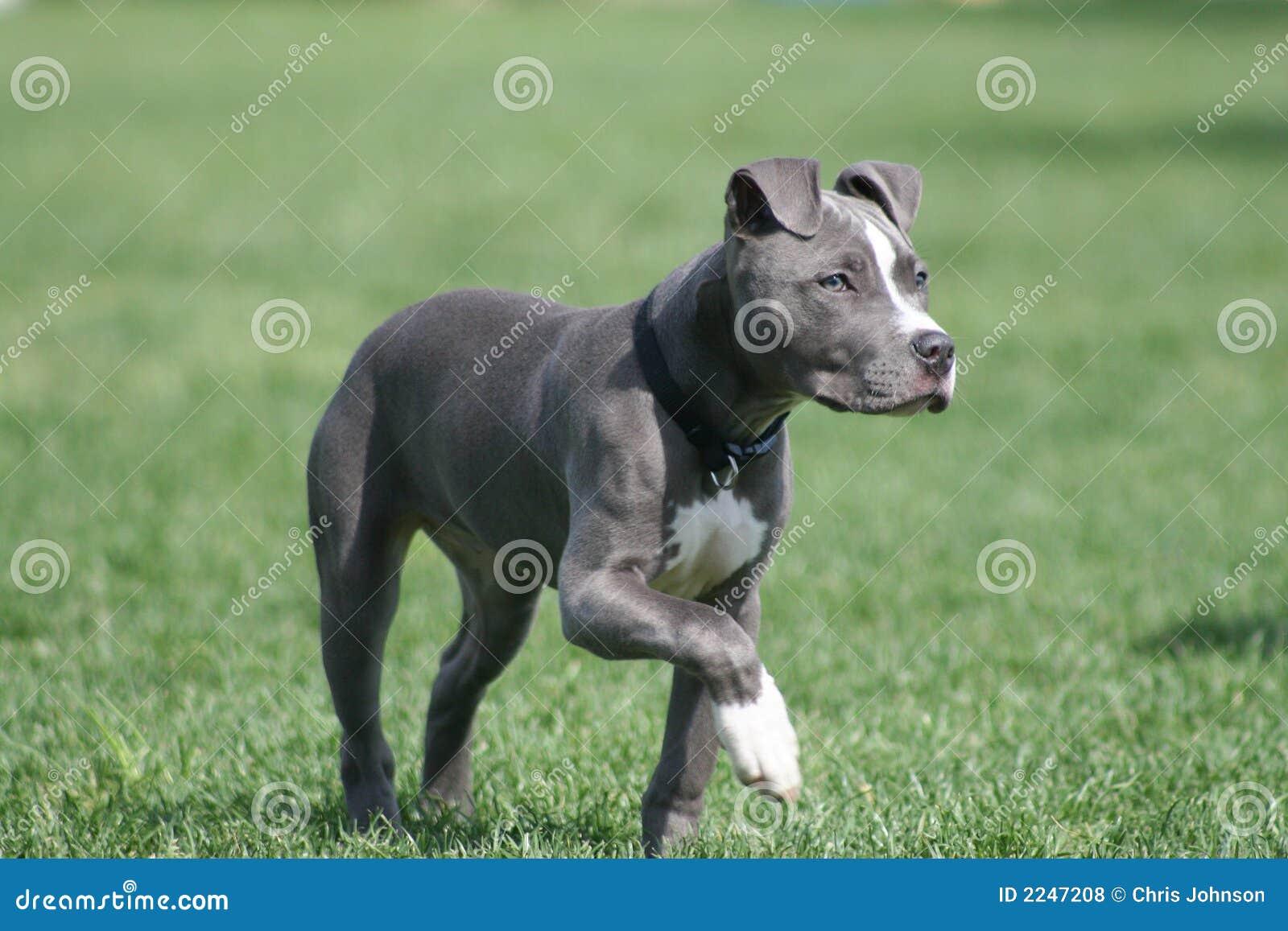 Perrito americano azul del pitbull