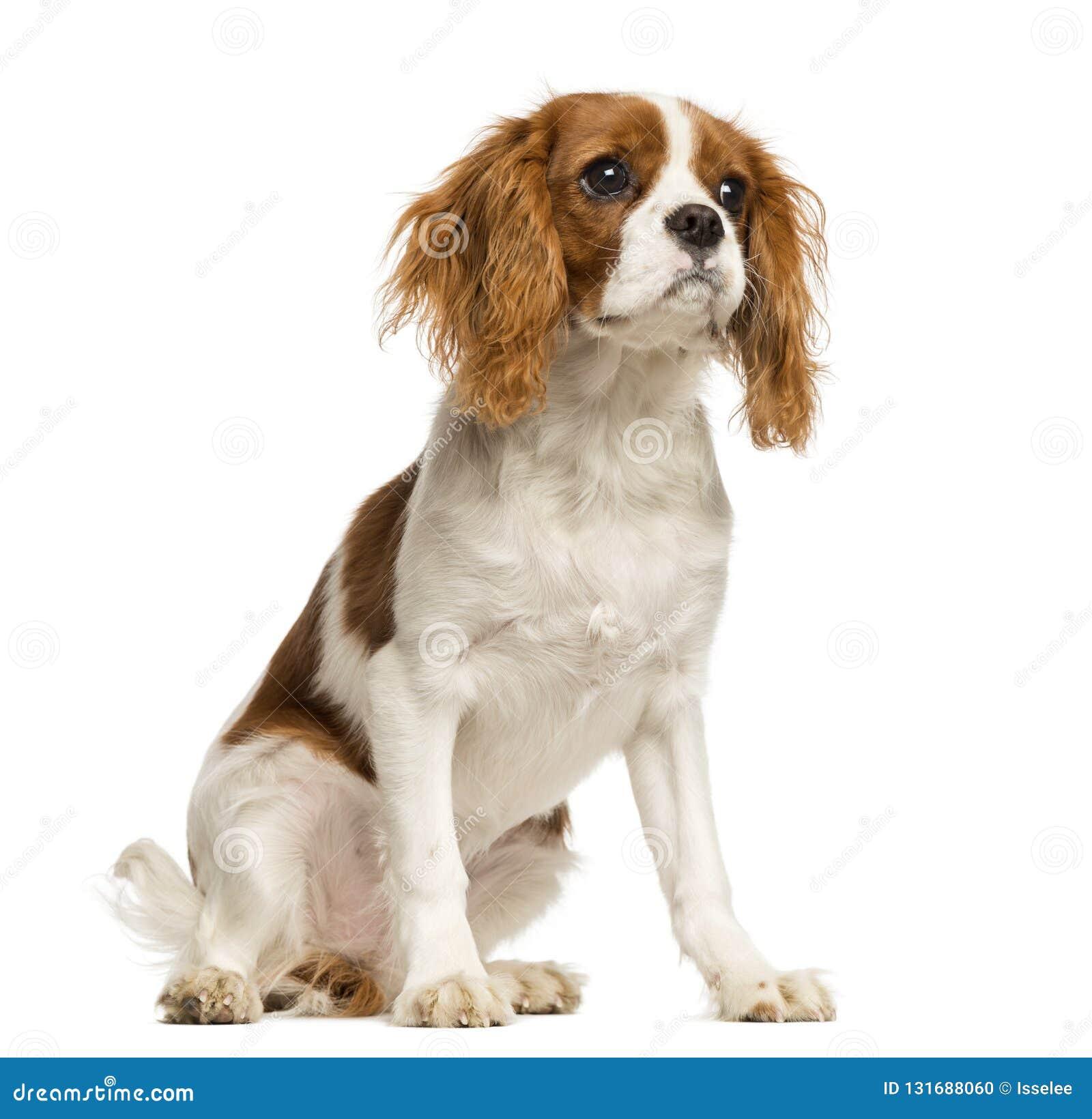 Perrito arrogante de rey Charles Spaniel, sentada, 5 meses