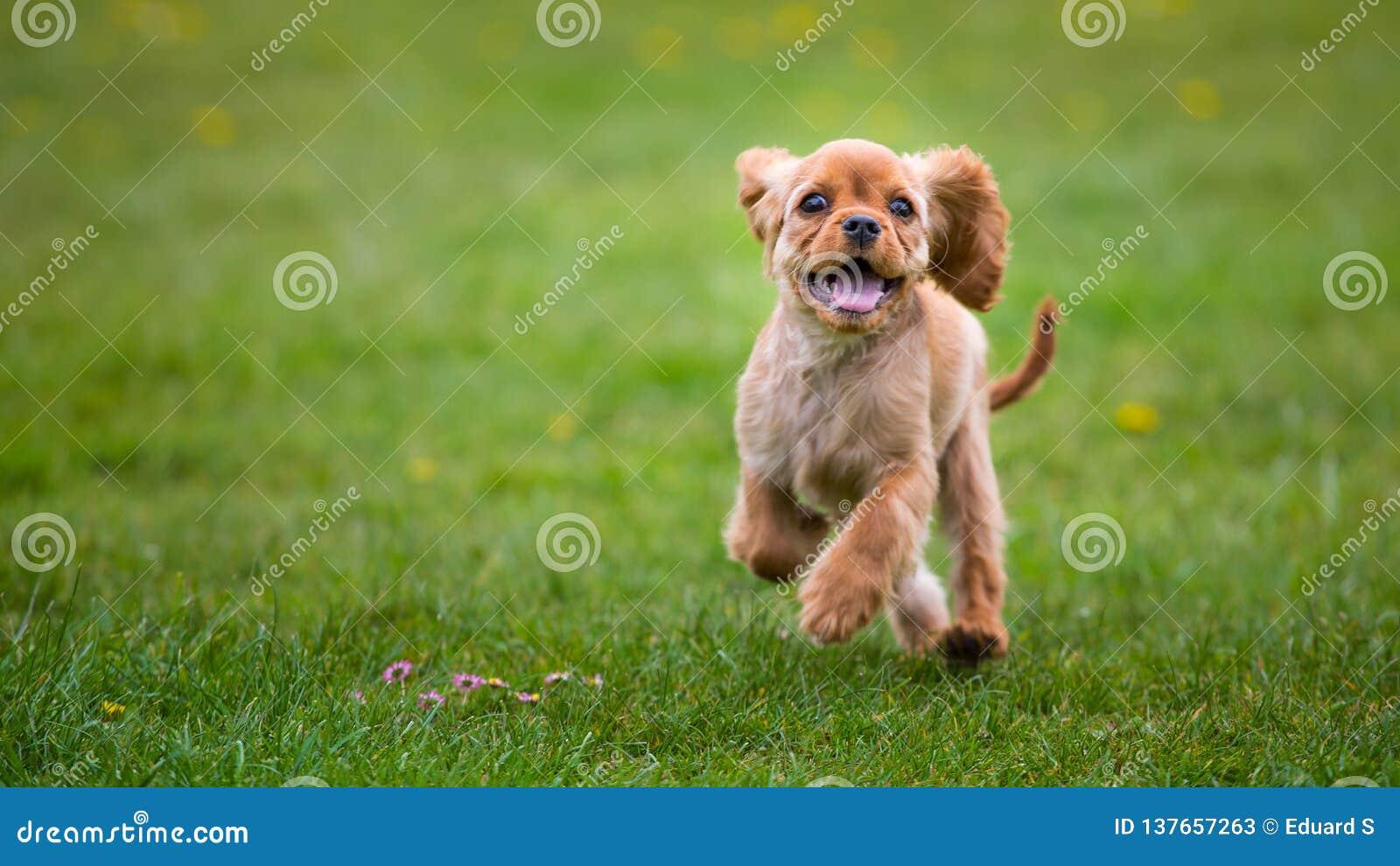 Perrito arrogante del perro de aguas de rey Charles