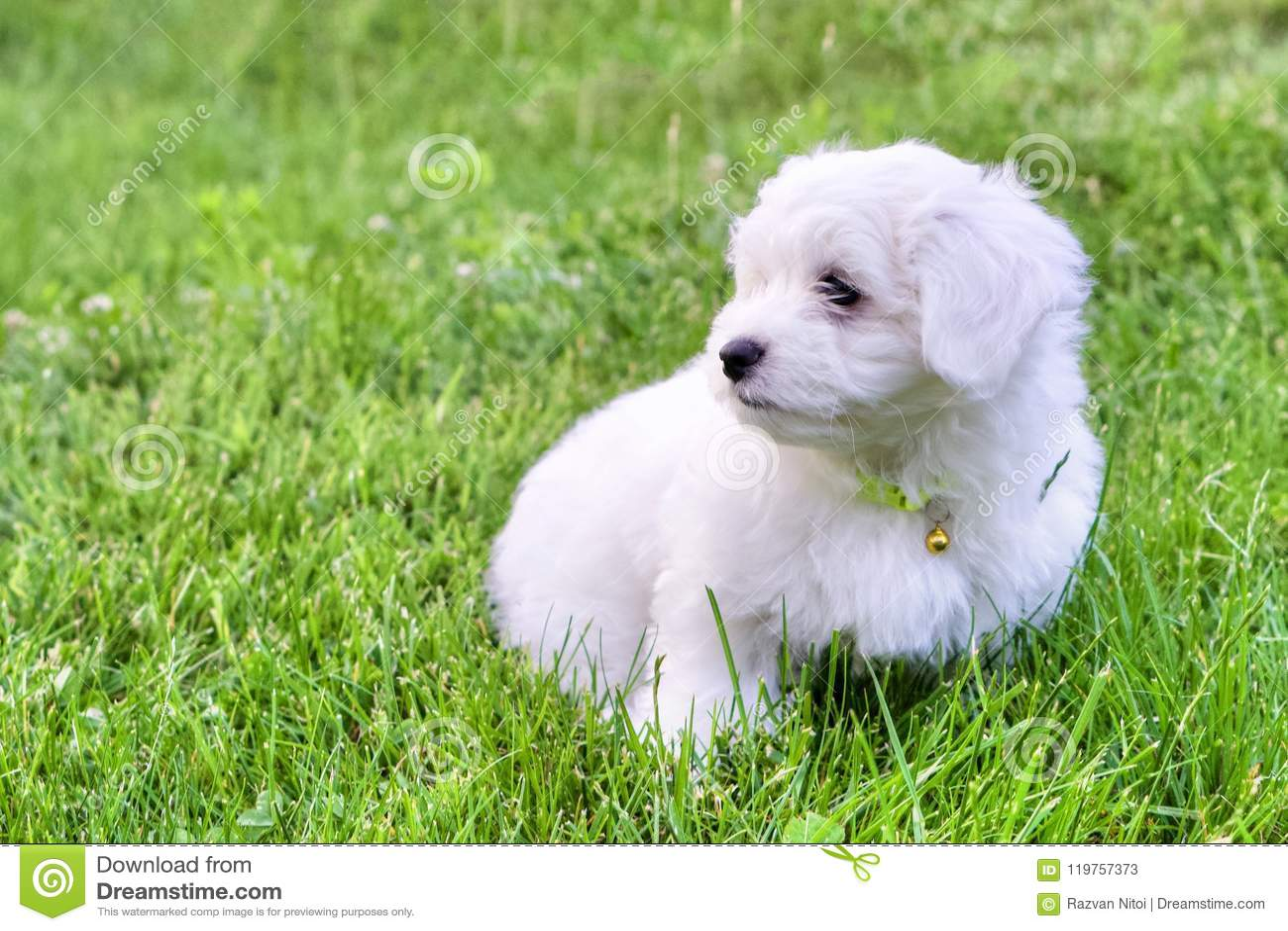 Perrito blanco lindo de Bichon que se sienta en hierba en día de verano