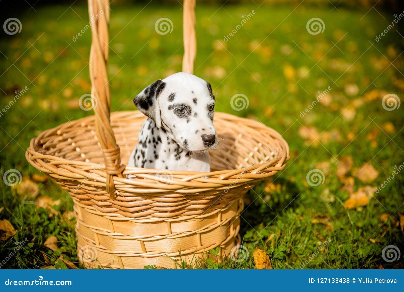 Perrito dálmata que se sienta en una cesta delante del fondo otoñal de la naturaleza Pequeño perro lindo en una cesta de mimbre e