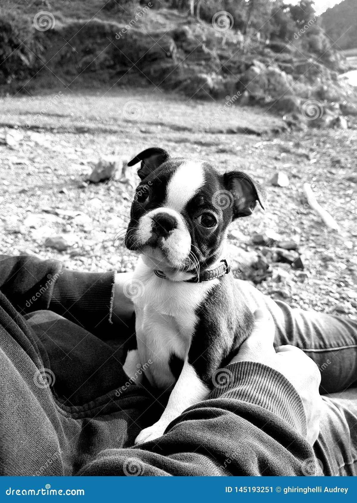Perrito de Boston Terrier