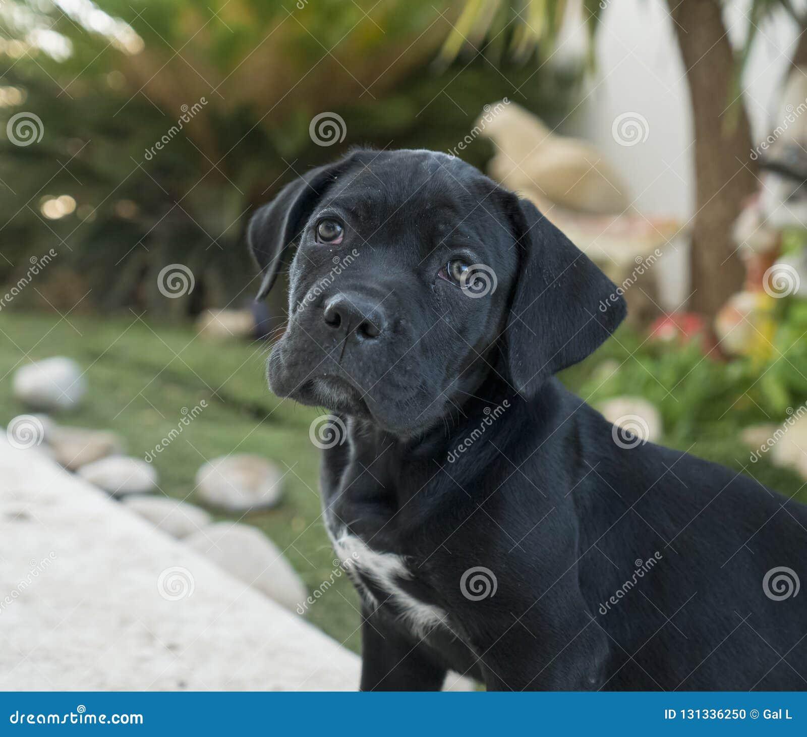 Perrito de Corso del bastón Retrato del primer de Cane Corso negro hermoso, perro femenino