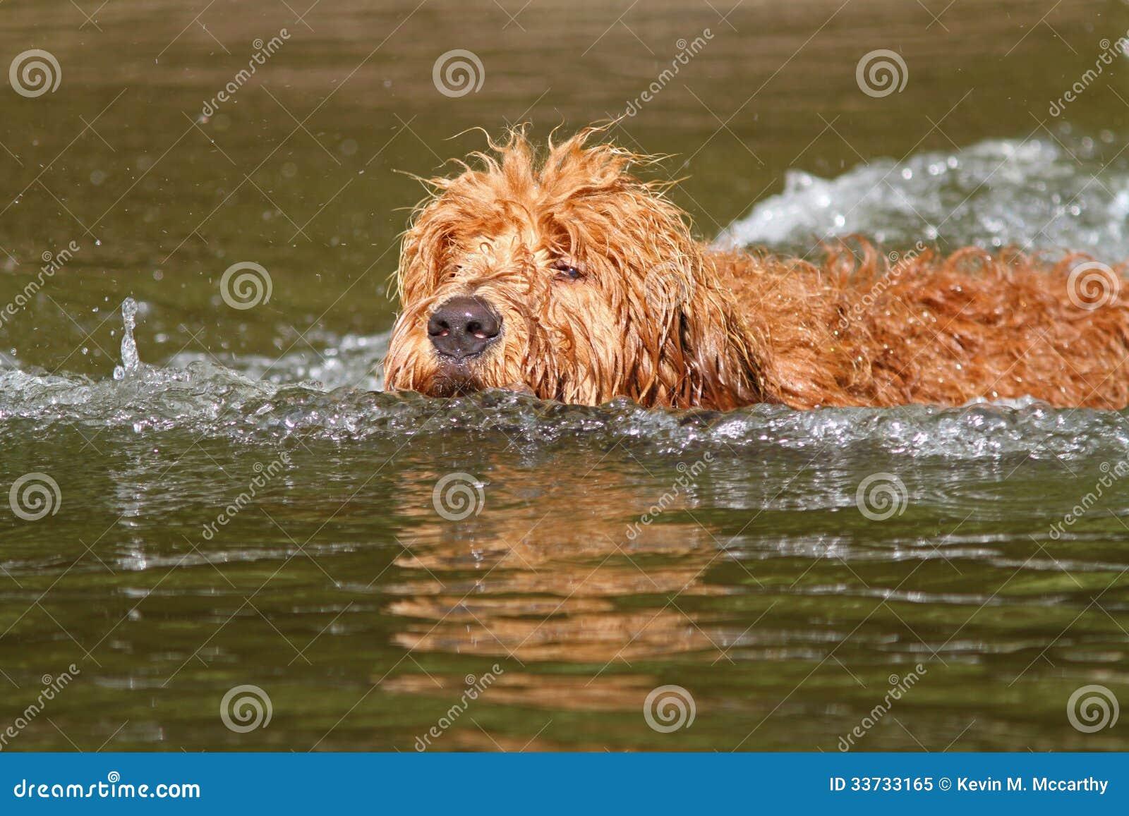 Perrito de Goldendoodle de la natación
