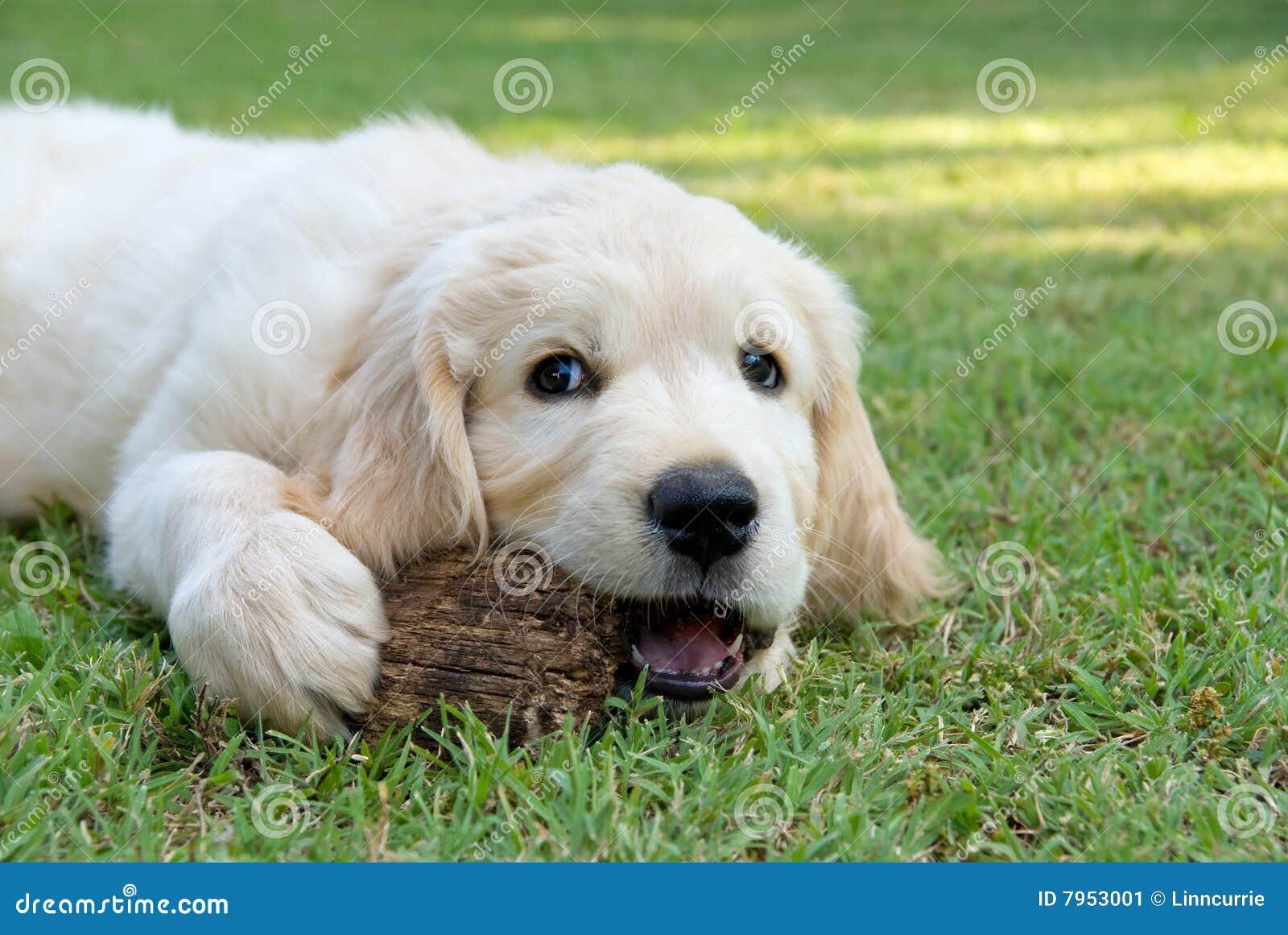 Perrito de gr del perro perdiguero de oro en jard n imagen for Ahuyentar perros del jardin