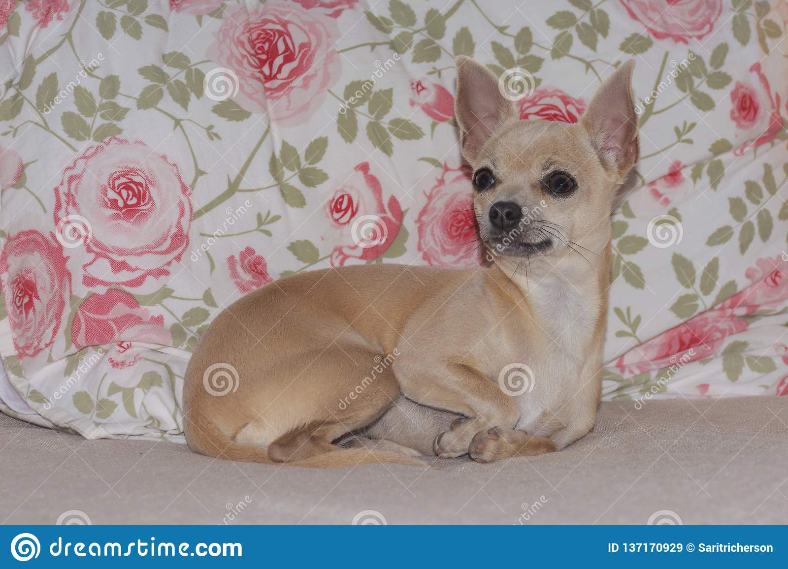 Perrito de la chihuahua que descansa en Rose Patterned Fabric