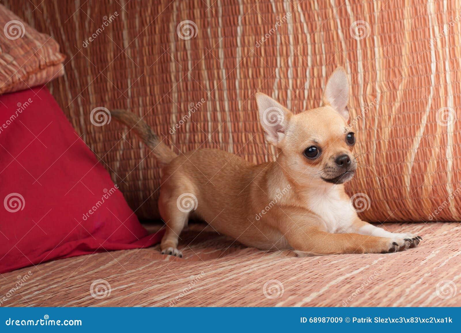 Perrito de la chihuahua que miente en el sofá, 4 meses femeninos