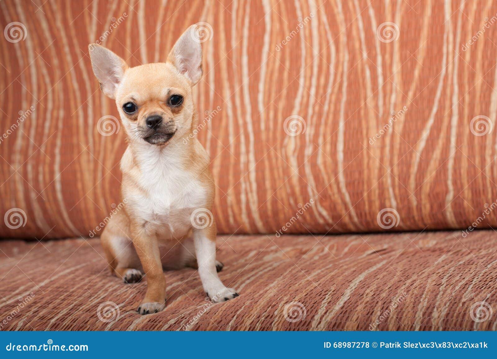 Perrito de la chihuahua que se sienta en el sofá, 4 meses femeninos