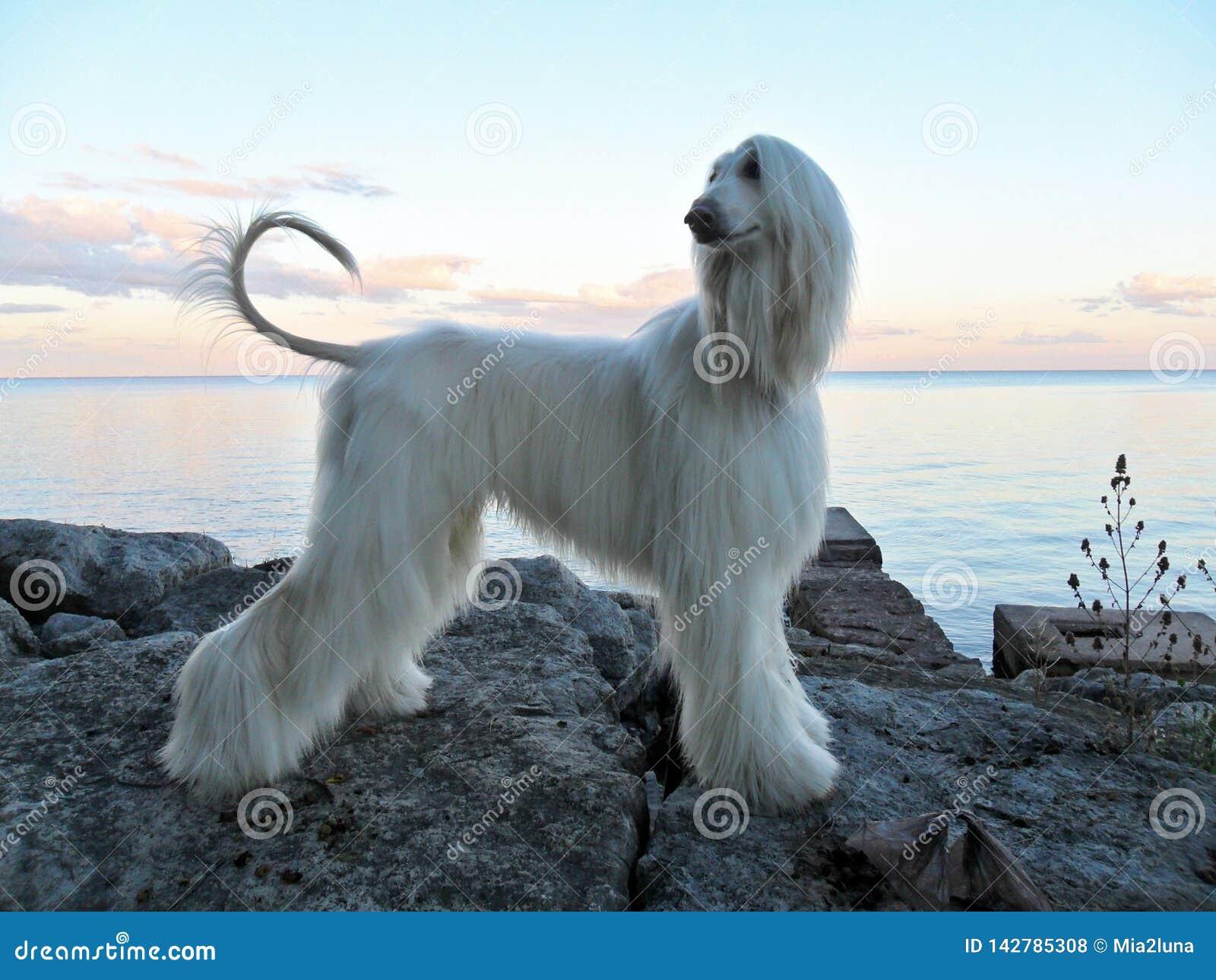 Perrito del Mirada-perro en perfil en orilla del lago de los cantos rodados