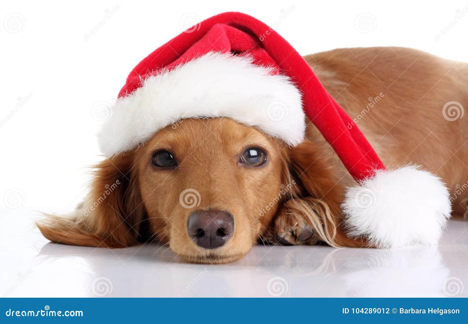 Perrito del perro basset que lleva el sombrero de Papá Noel