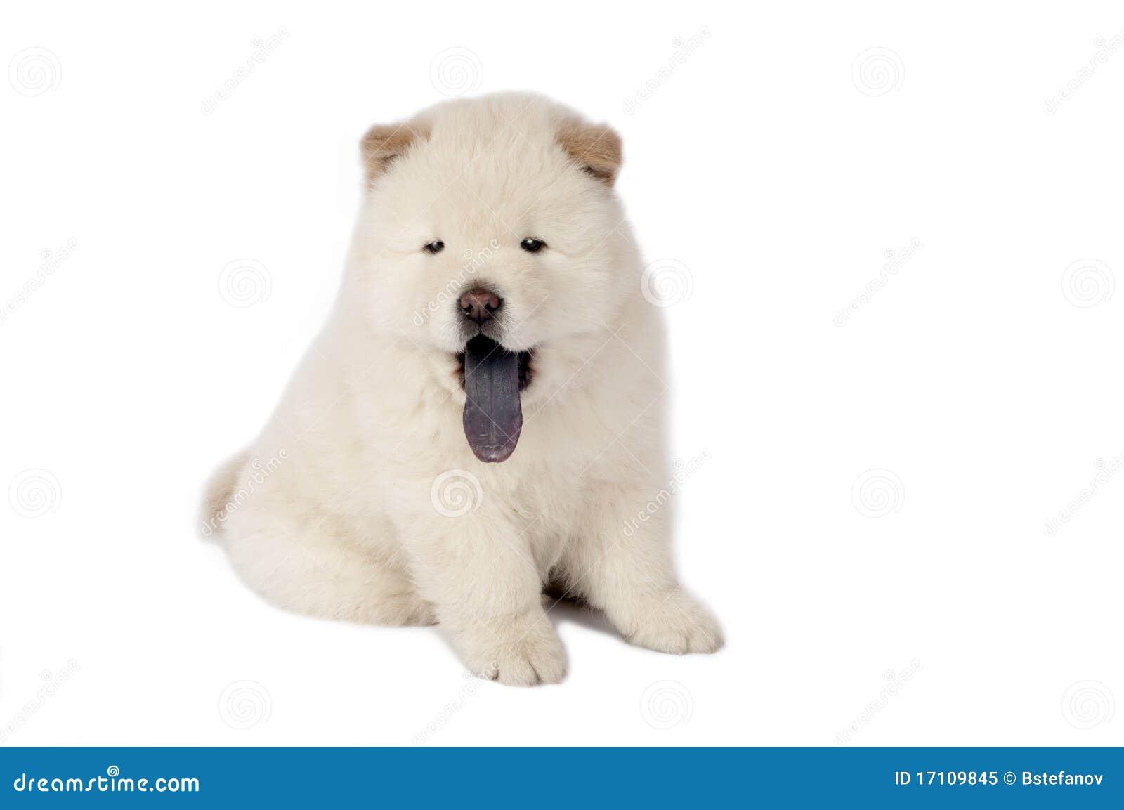 Perrito del perro chino de perro chino.