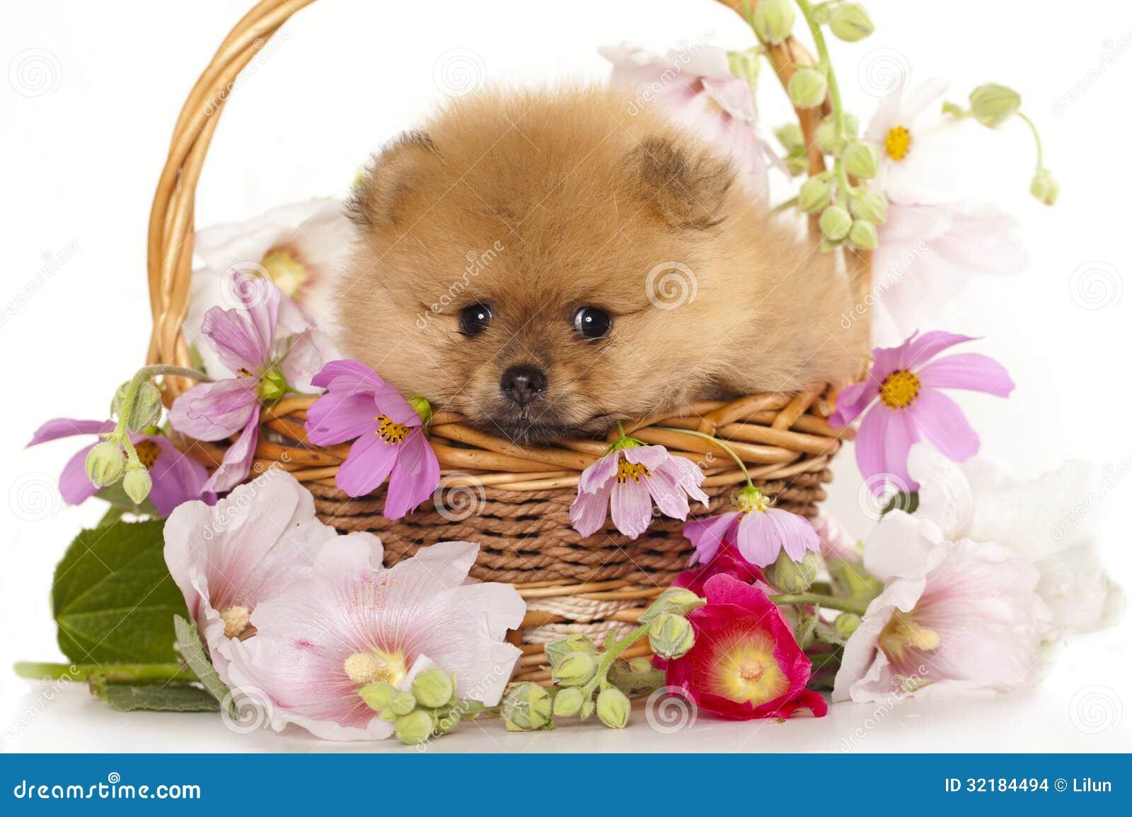 Perritos del perro de Pomerania de Pomeranian y rosas de las flores.