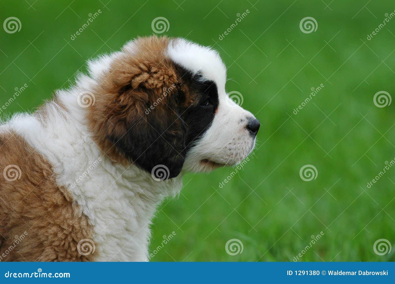 Perrito del perro de St.Bernard