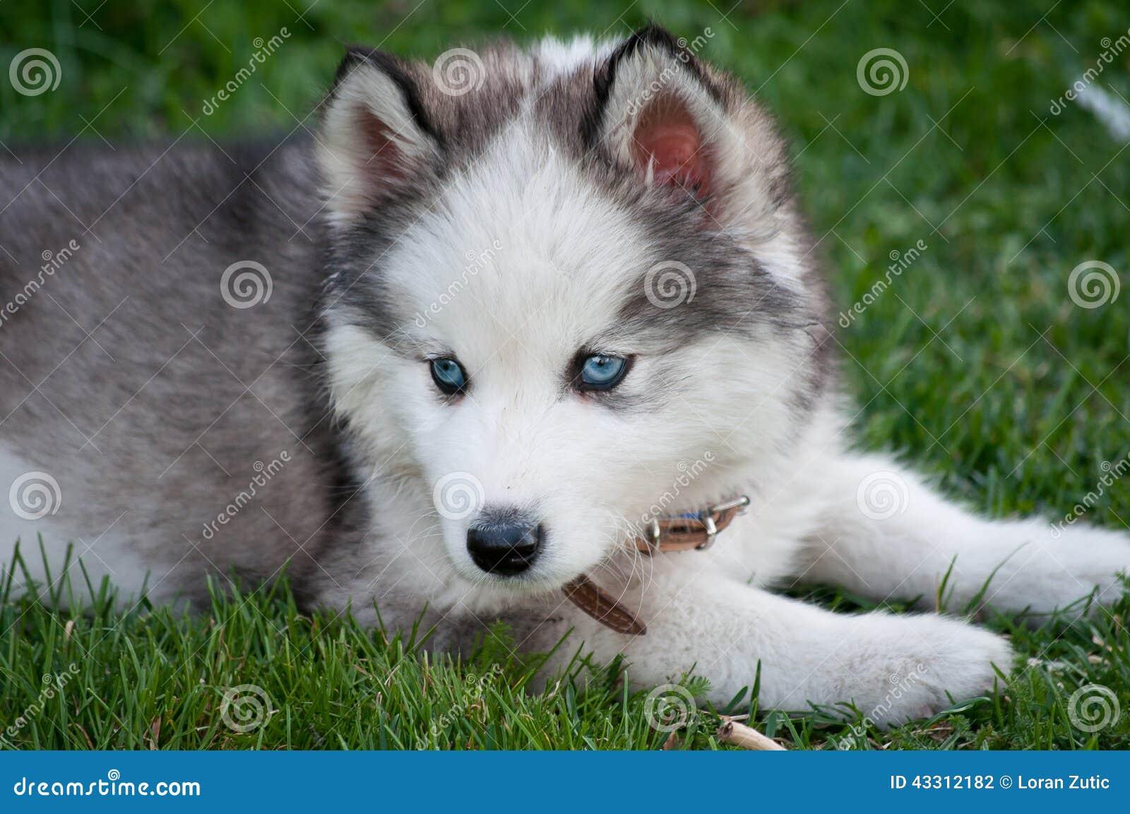 Perrito del perro esquimal siberiano