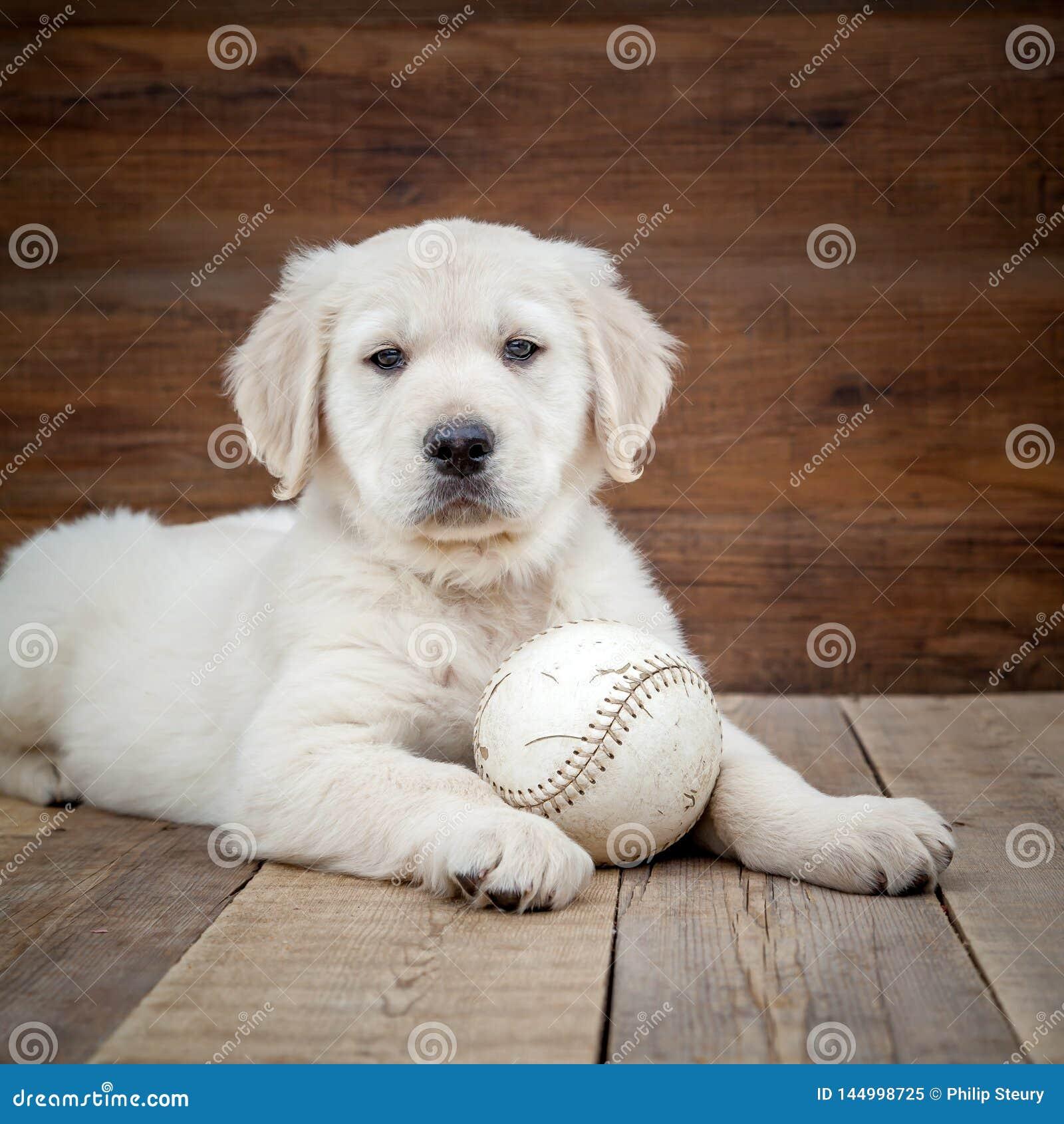 Perrito del perro perdiguero de oro