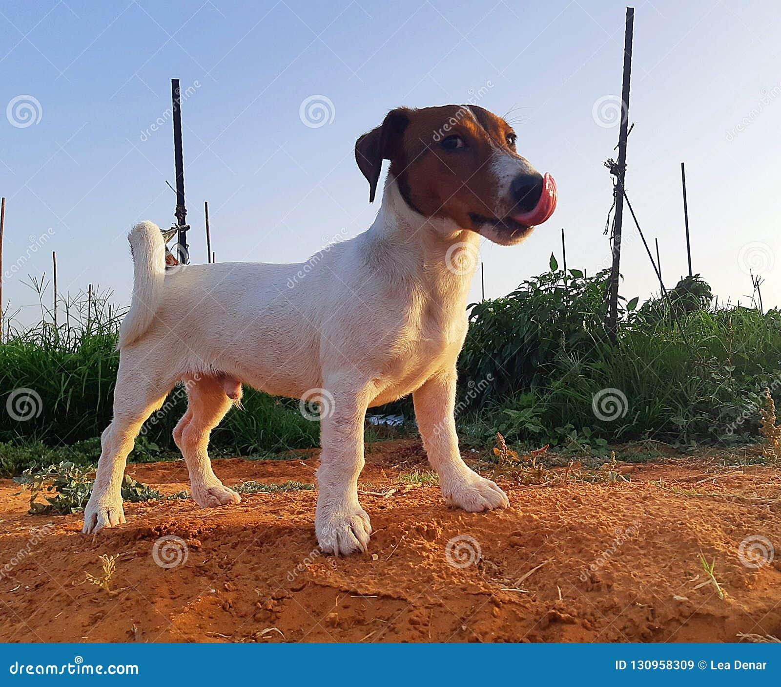 Perrito del terrier de Óscar - de Jack Russell