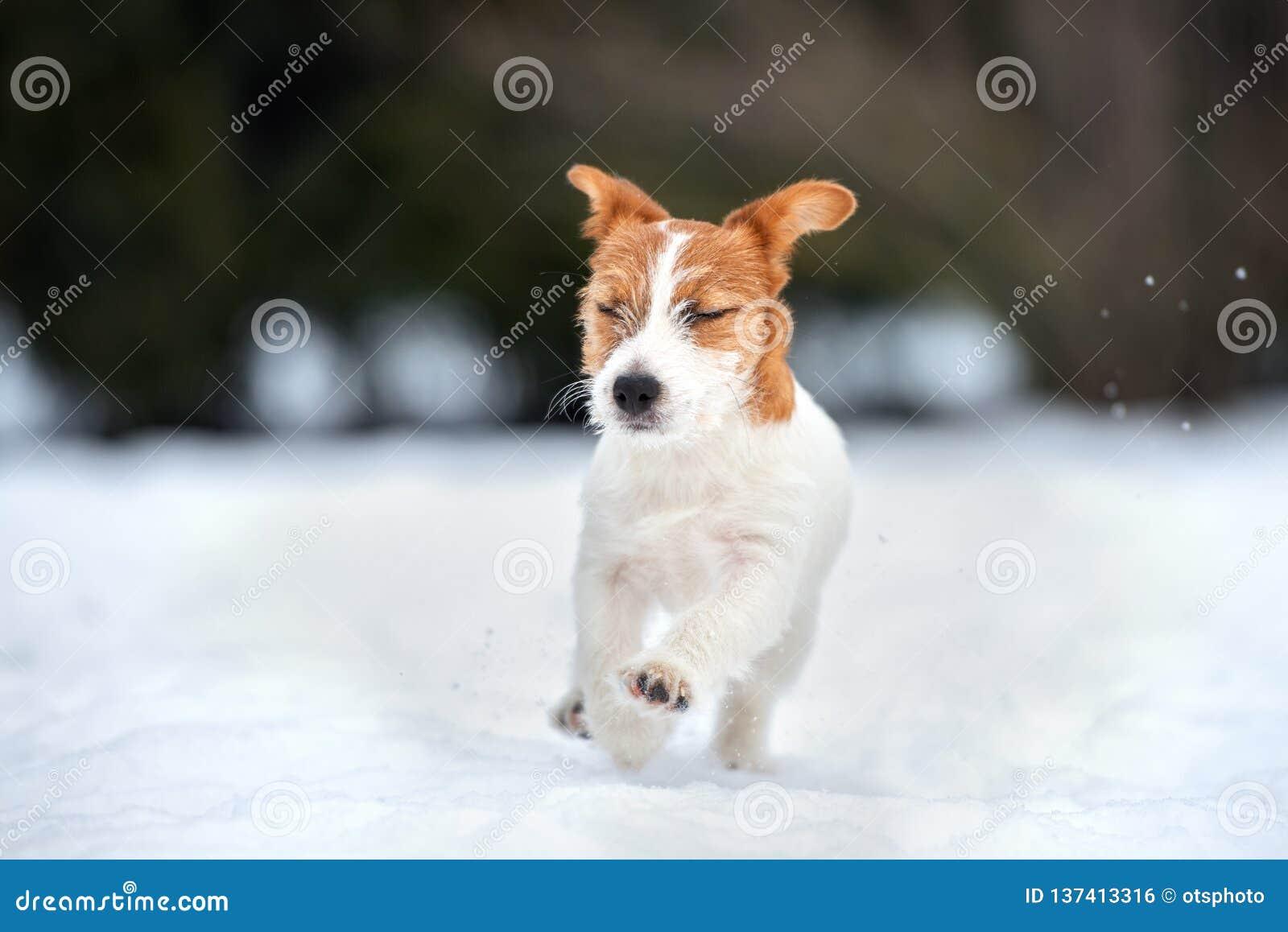 Perrito del terrier de Jack Russell que juega al aire libre en invierno