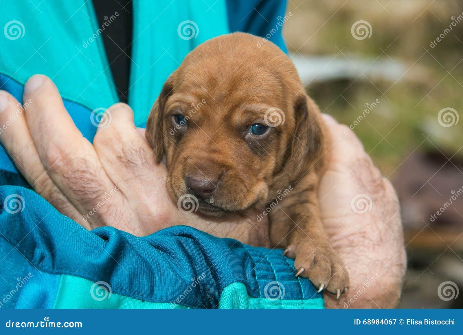 Perrito dulce del perro del maremmano del segugio
