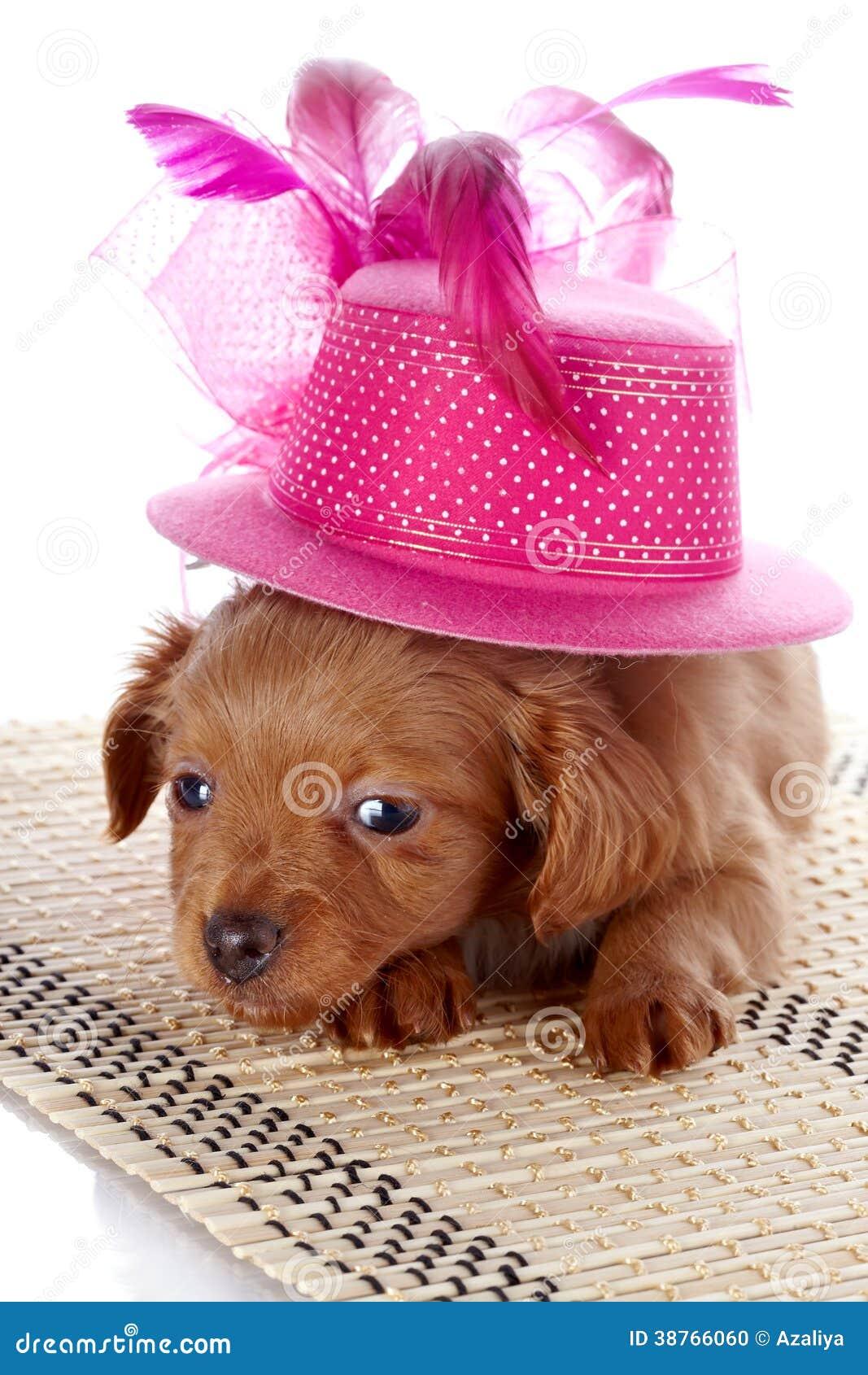 a7d064f4cd4ba Perrito y un sombrero con las plumas Perrito en un sombrero en una manta Perrito  de un perrito decorativo Perro decorativo Perrito de la orquídea de ...