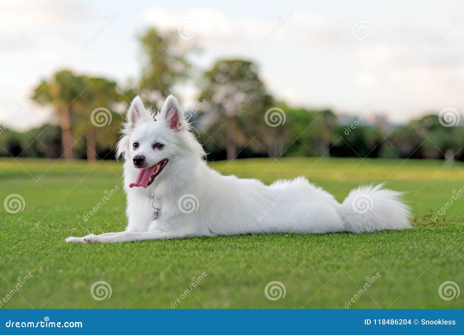 Perrito esquimal americano