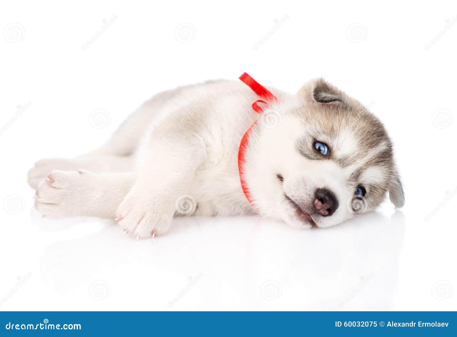 Perrito feliz del husky siberiano Aislado en el fondo blanco